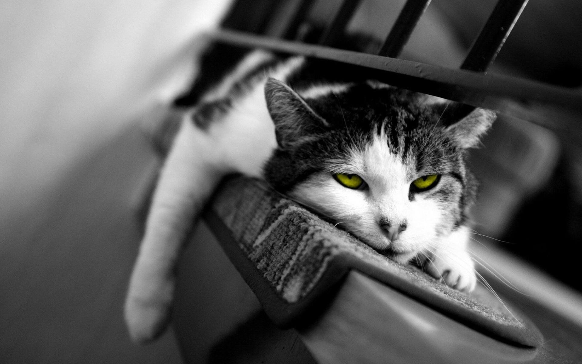 Cat Black And White Hd Widescreen Desktop Wallpaper