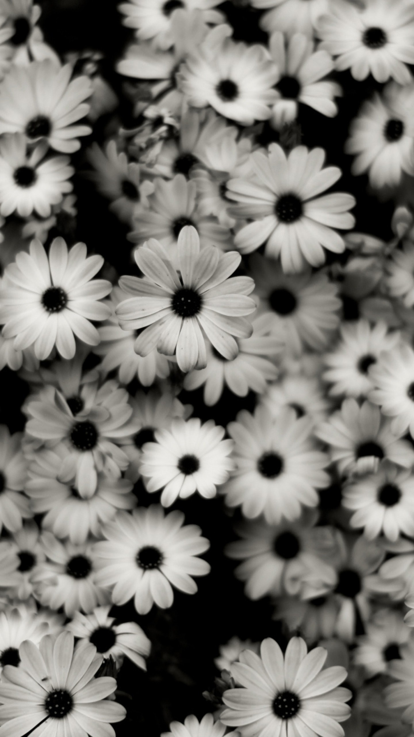 Preview wallpaper black white, flowers, grey, daisies 1440×2560