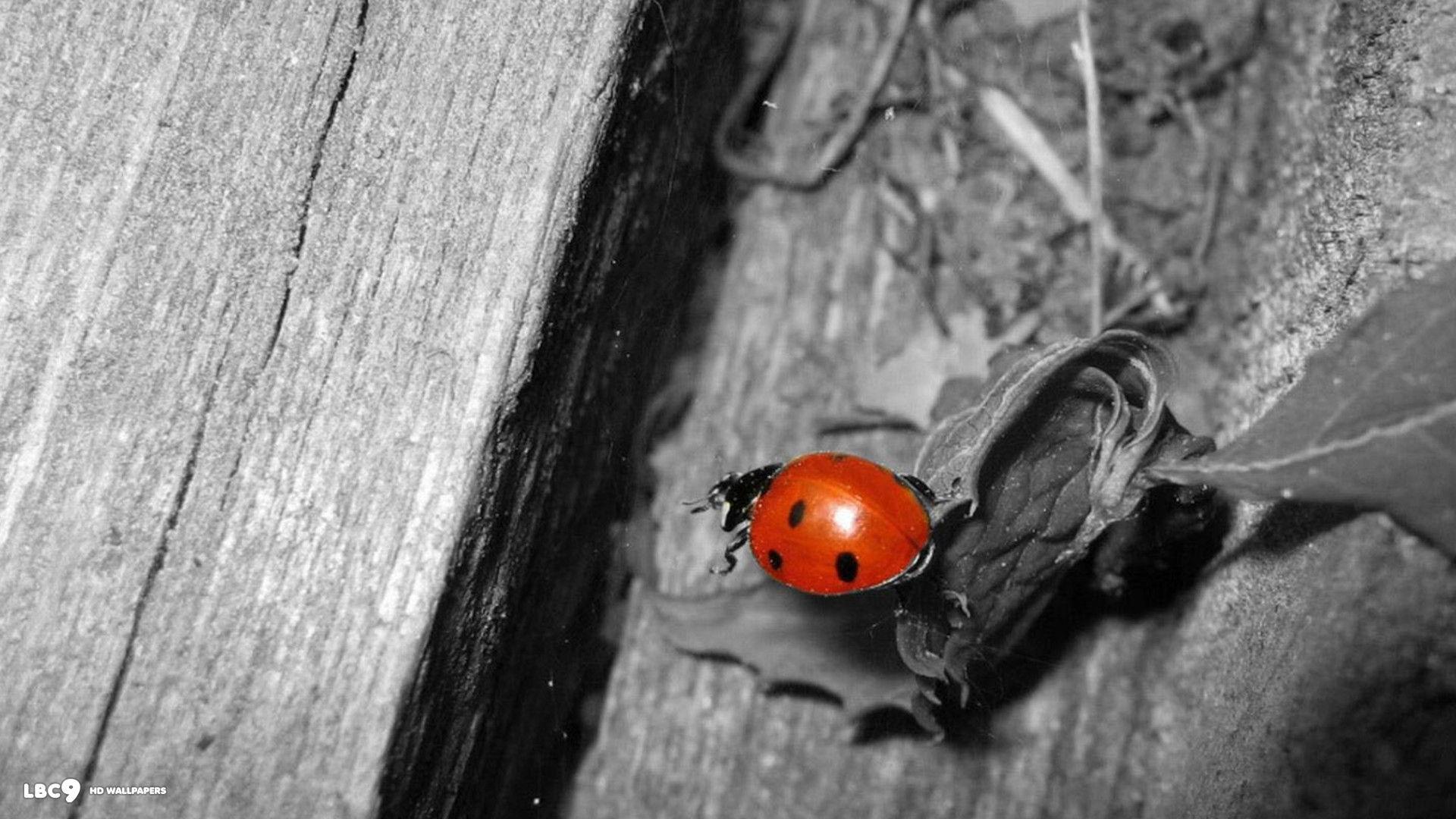 black and white ladybug desktop background