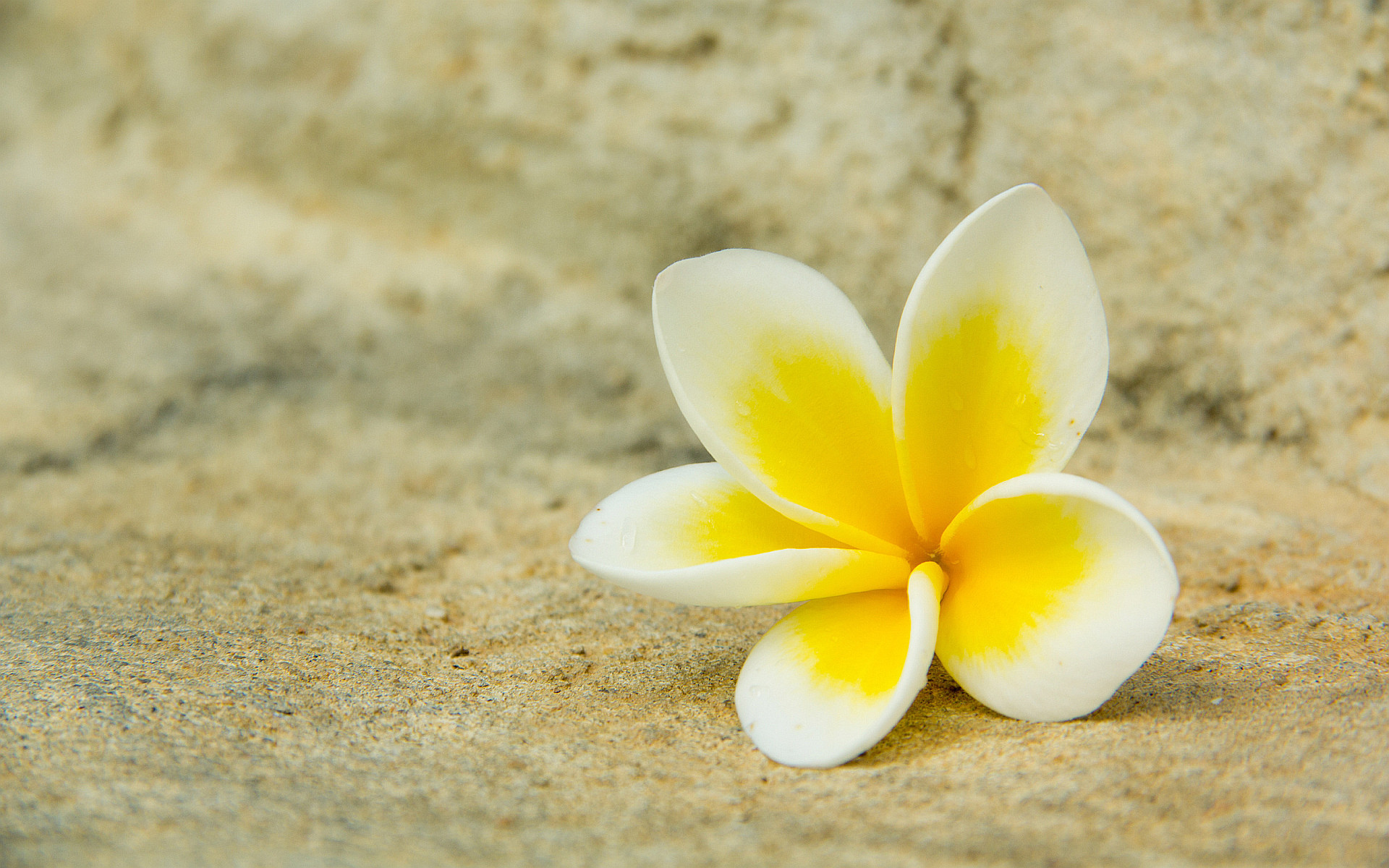 white with yellow | White yellow plumeria Wallpapers Pictures Photos Images