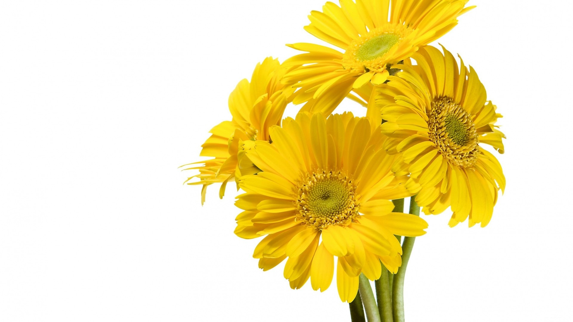 Wallpaper gerbera, flower, yellow, white background