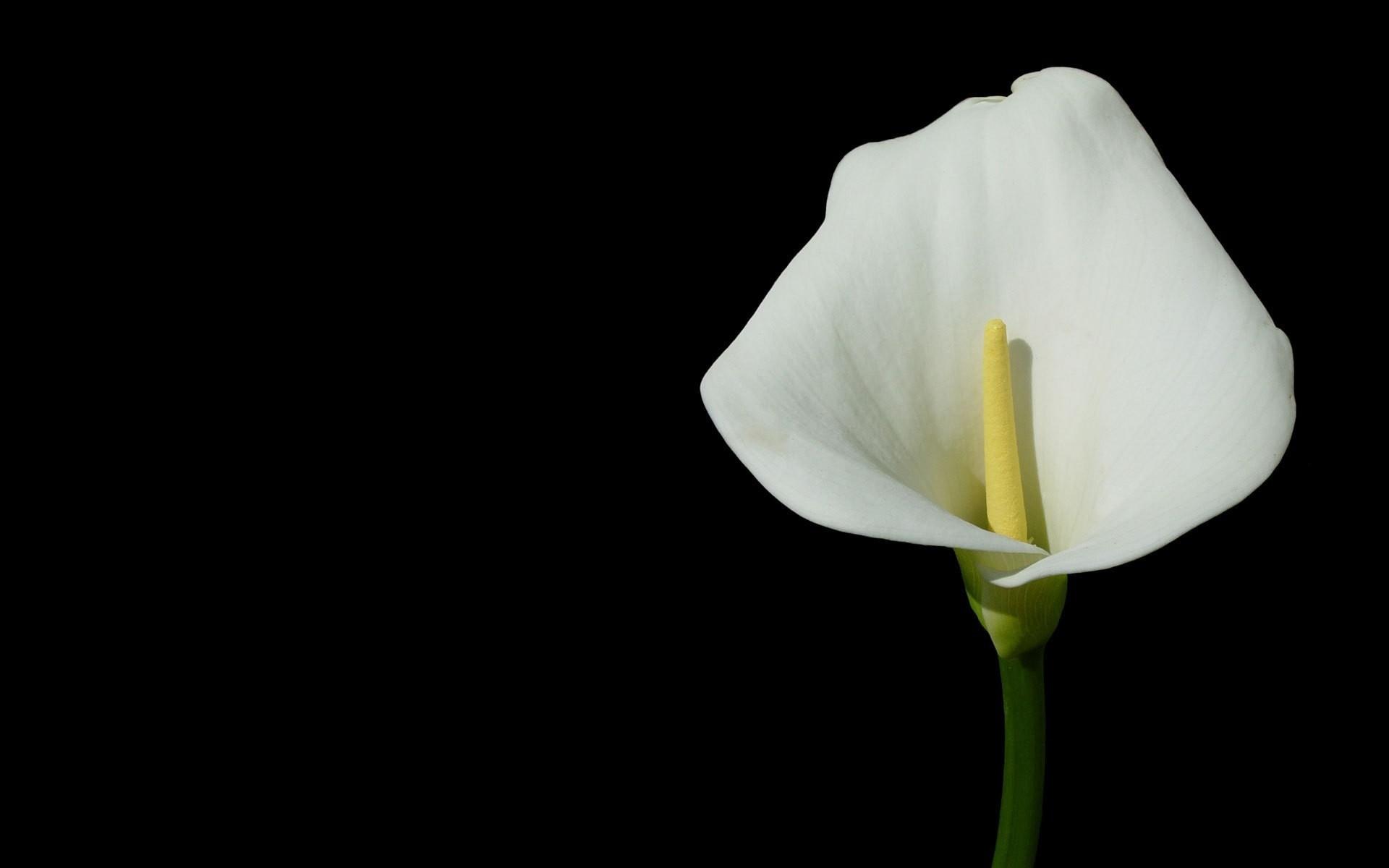 Wallpaper Flower, White, Yellow, Green, Black