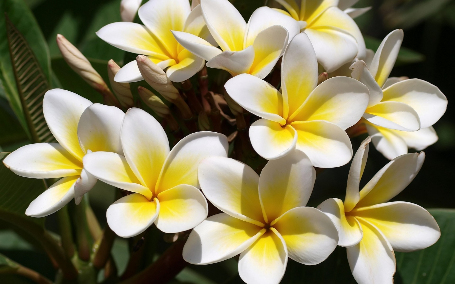 White yellow plumeria