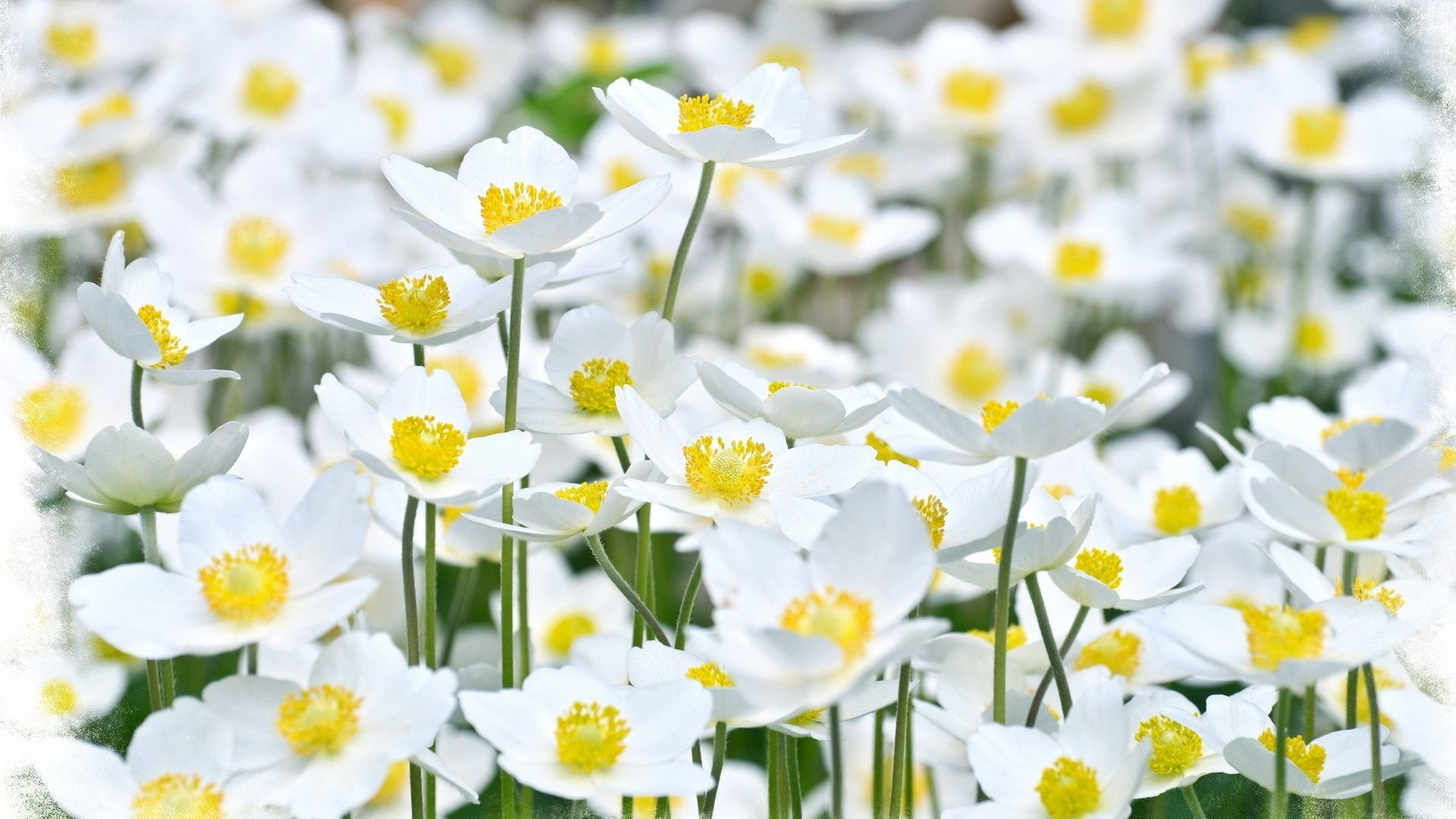 Nature Bright Garden Petals Flowers Fields Yellow White Plants Wallpaper  Download For Mobile Phone Detail