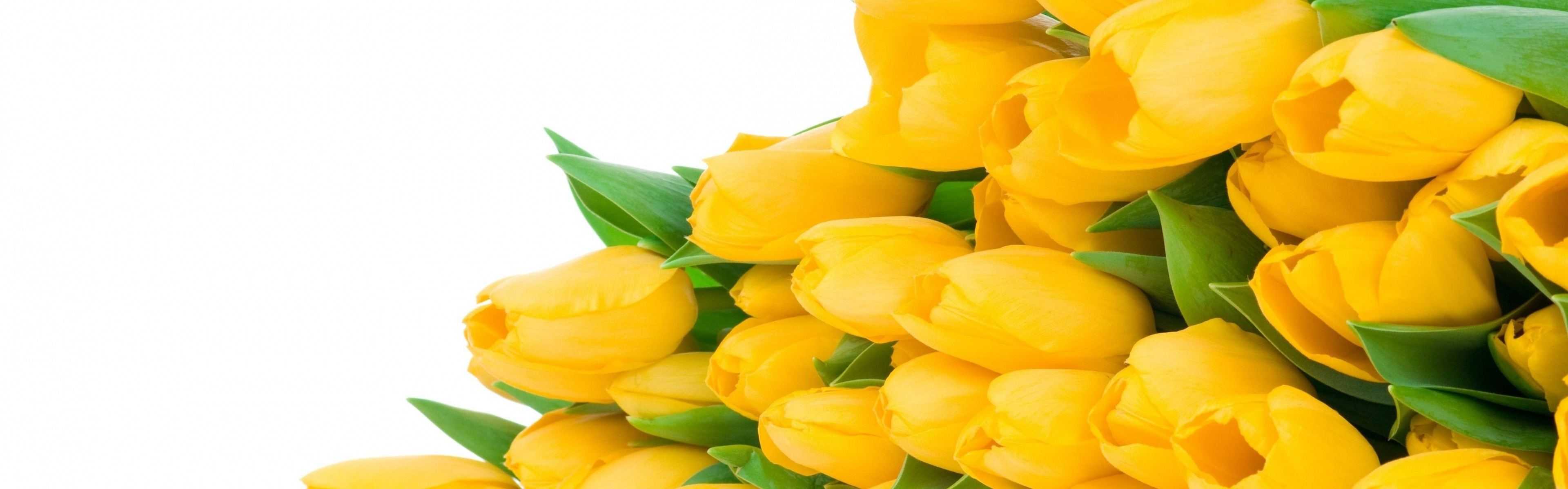 Wallpaper tulips, flowers, yellow, flower, lie, white background