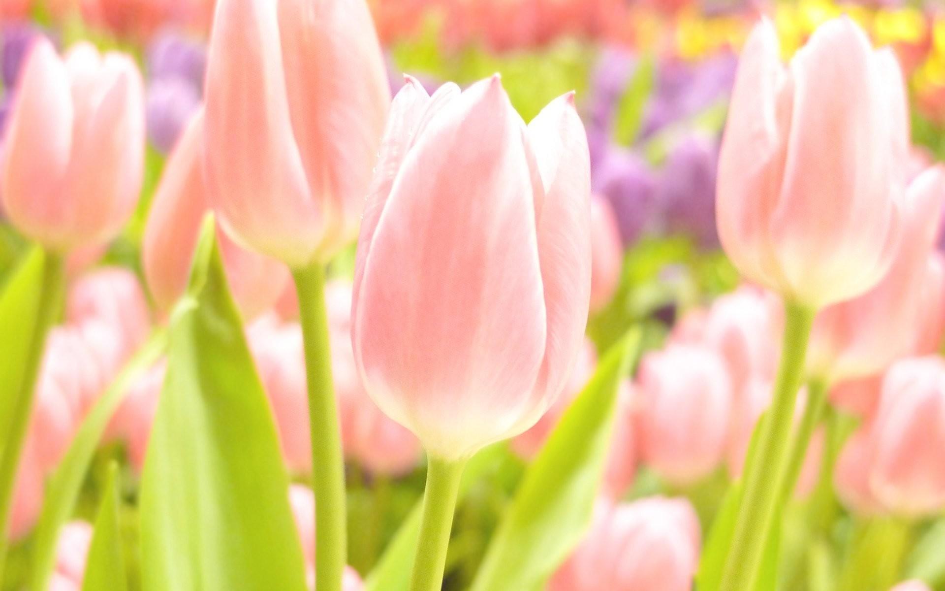 flower summer spring summer wallpapers spring wallpaper tulips focus bokeh  pink yellow white tender sweet tulips