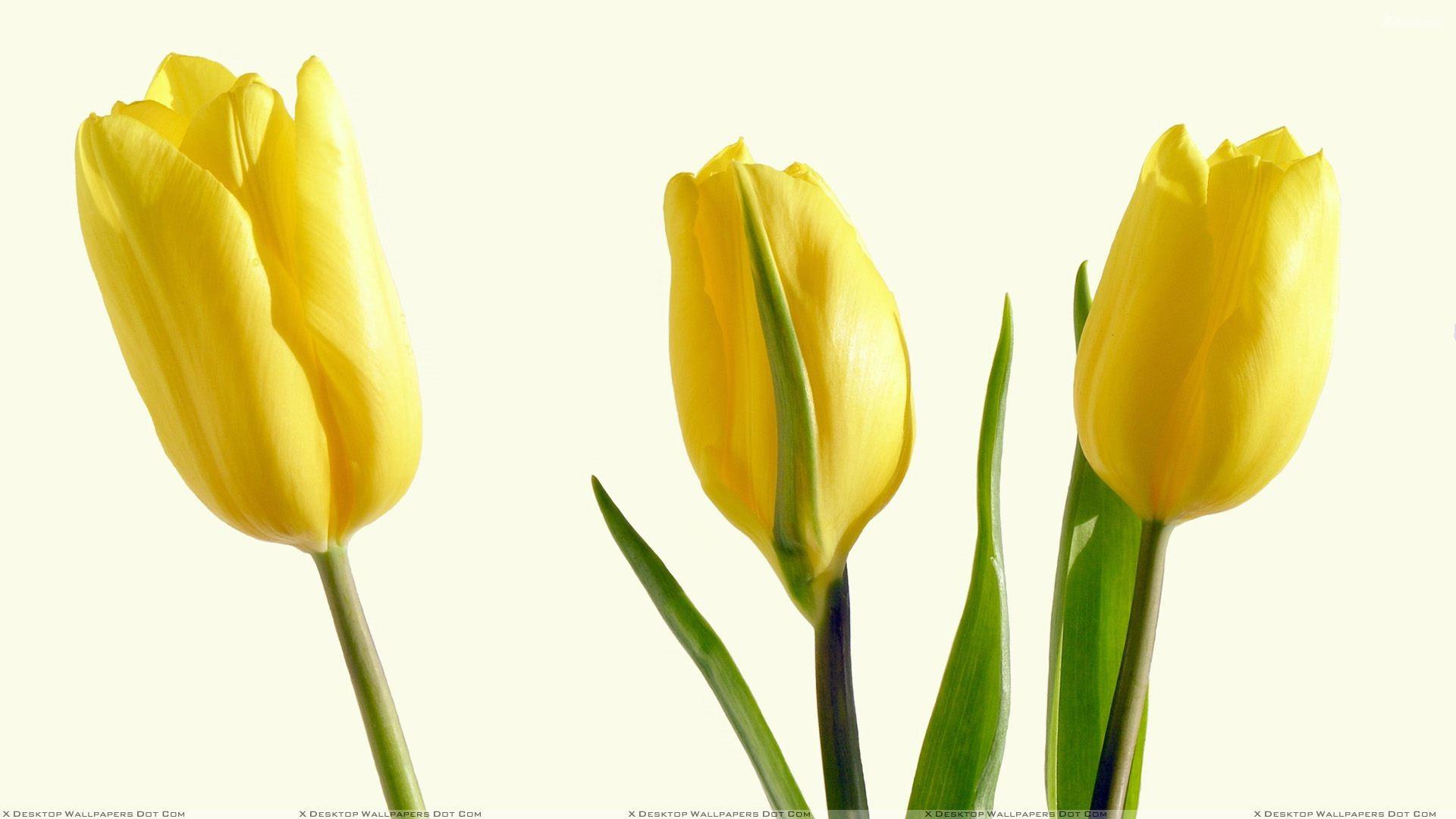 Yellow Tulips HD Wallpaper