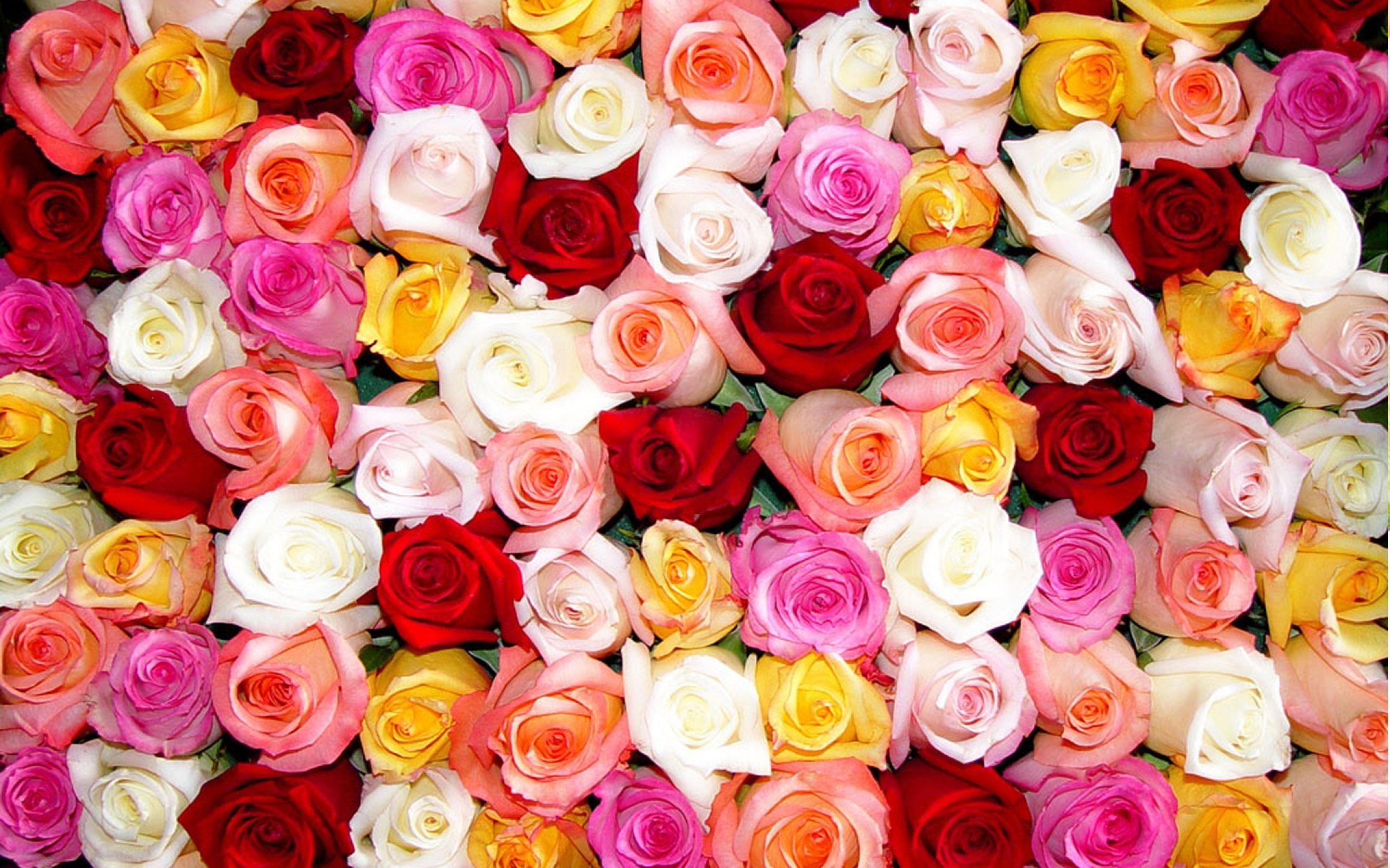 Rose Color Beautiful Flowers Wallpaper Download HD