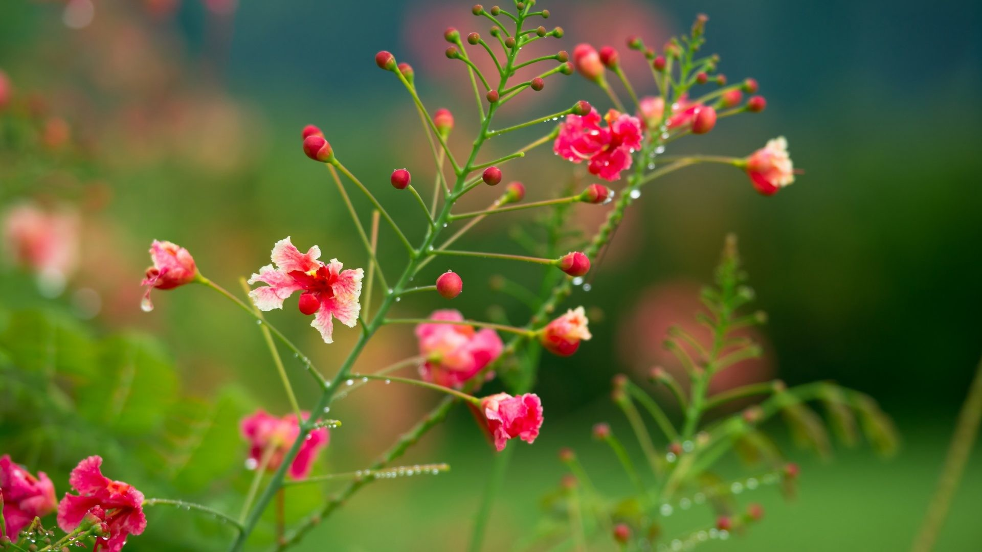 #DD6666 Color – Pretty Green Pink Beautiful Flowers Drops Colors Grass  Flower Background Hd Images