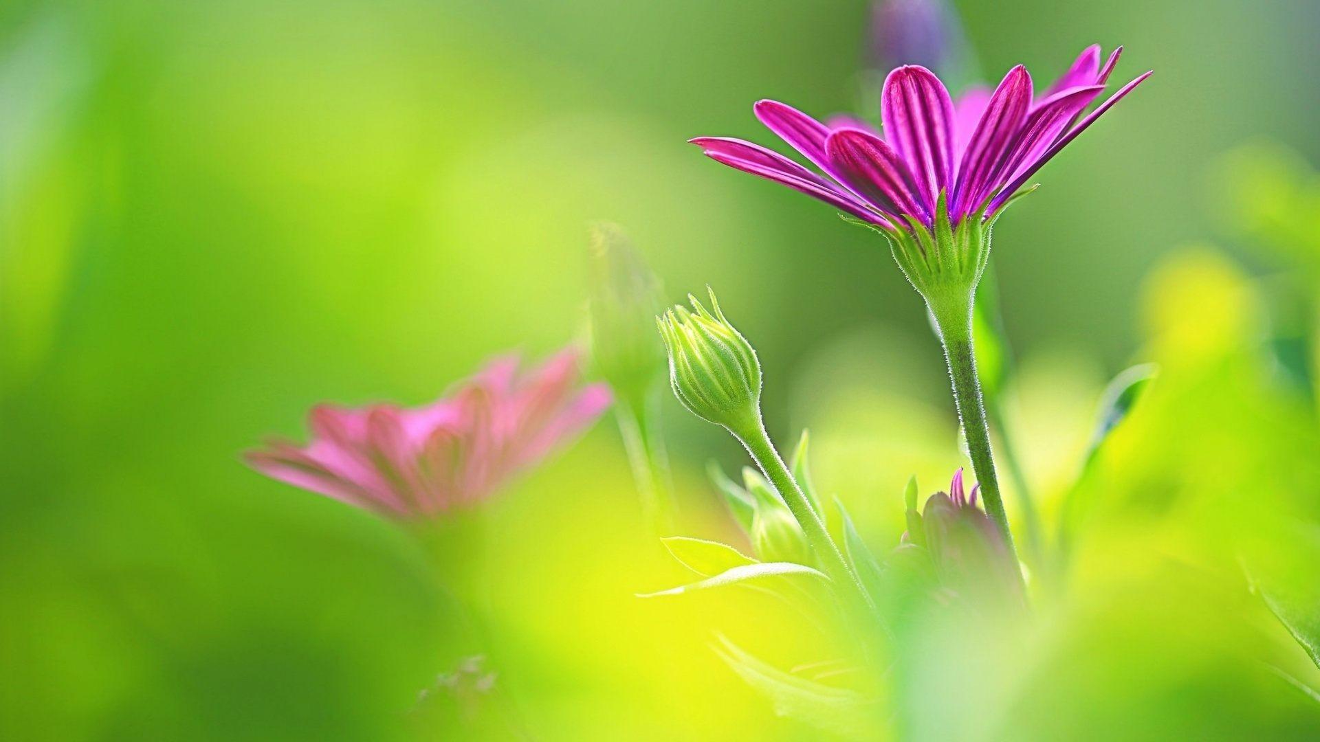 Purple Flower Daisy Green Background Wallpaper
