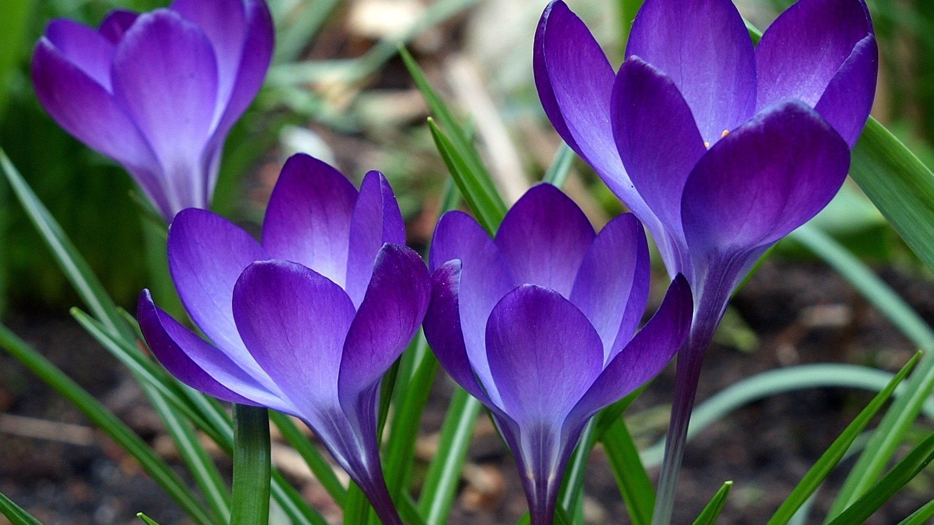 Preview wallpaper purple, green, flowers, grass 1920×1080
