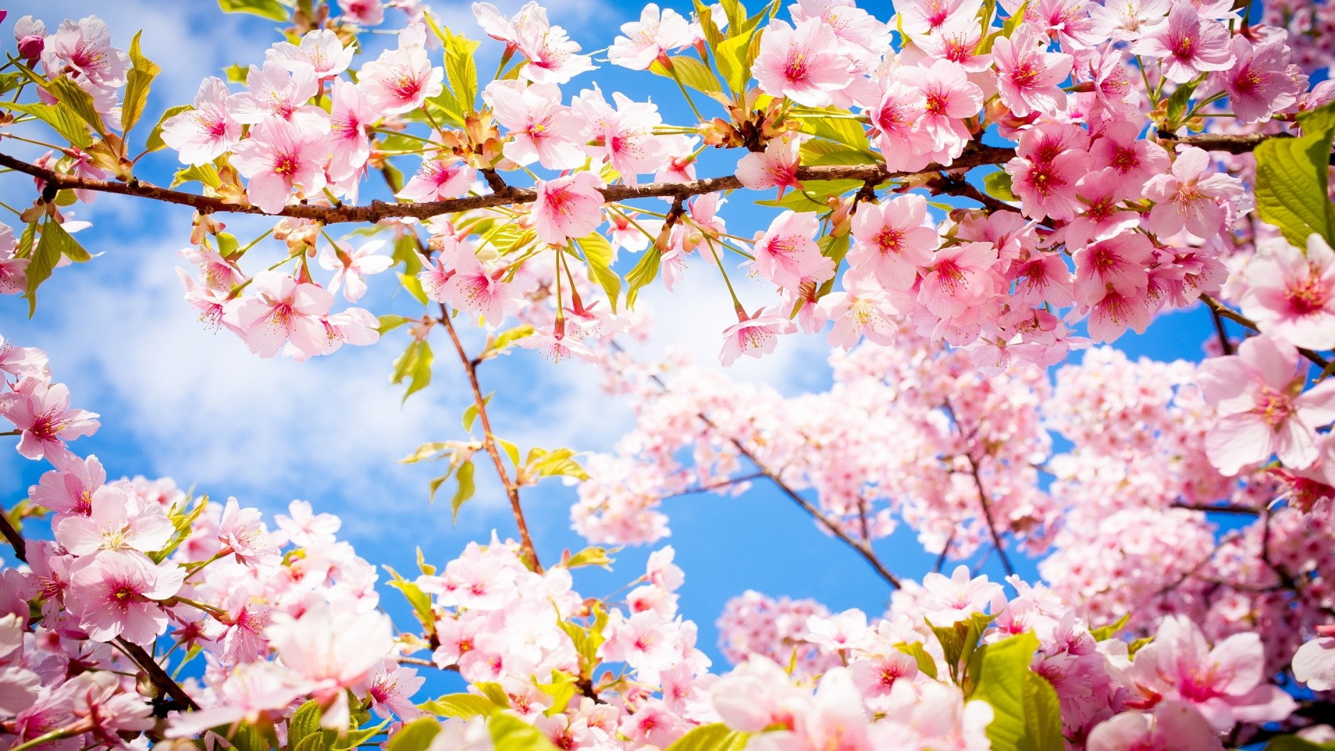 Spring Wallpaper Cherry Blossom HD Wallpapers