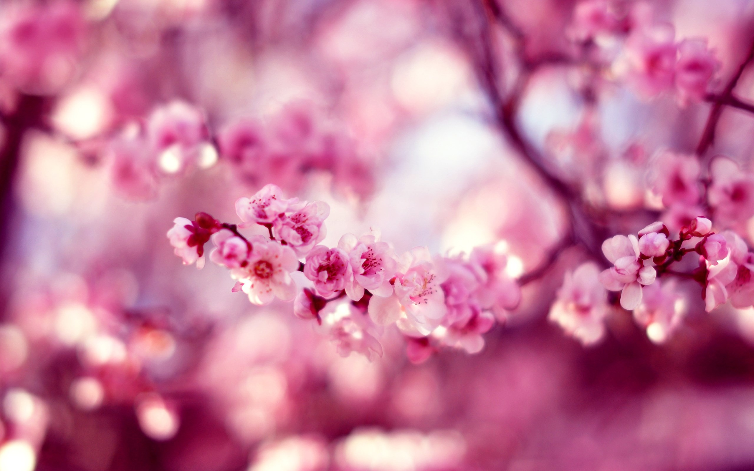 Spring cherry blossom hd