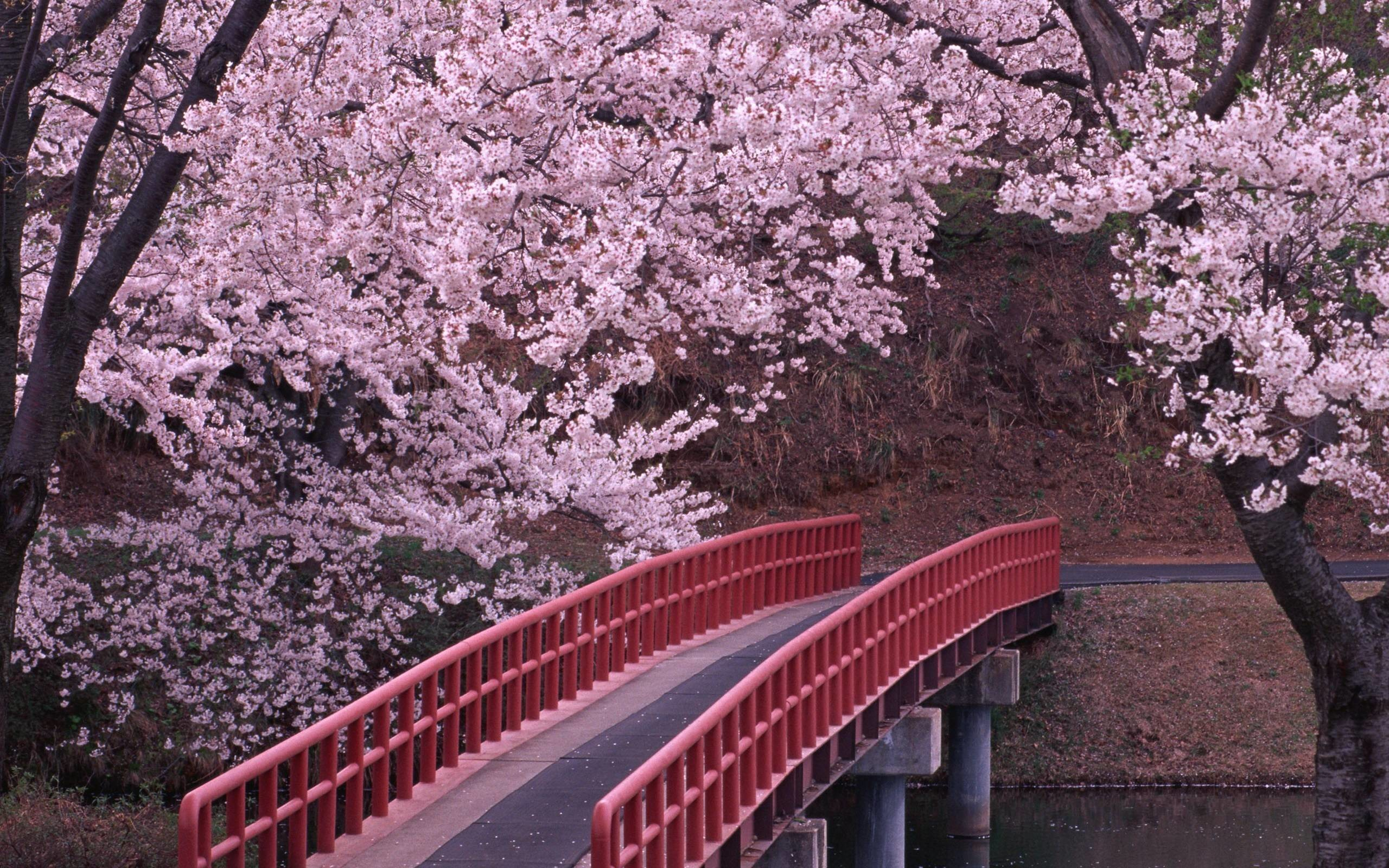 Cherry Blossom Tree Gallery Wallpaper – HD Wallpapers WallForU.com