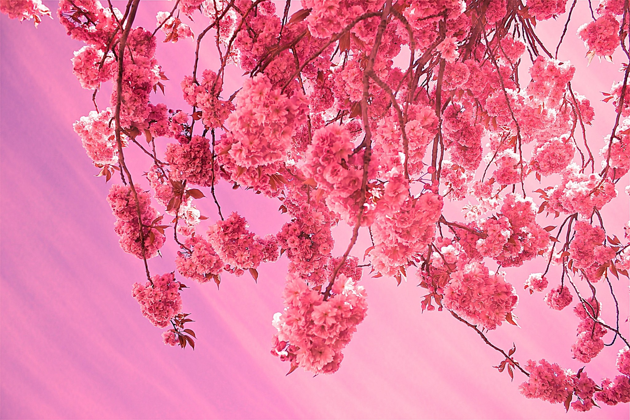 Cherry blossom wallpaper free Android Apps on Google Play 2048×1365