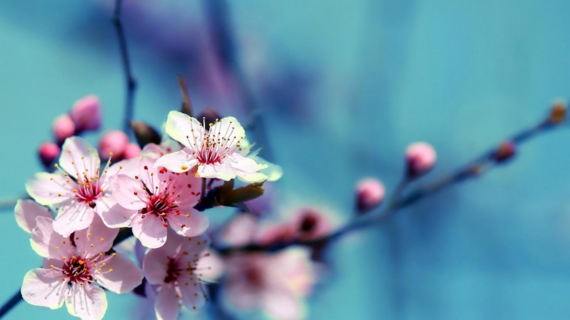 Desktop cherry blossoms hd wallpaper.