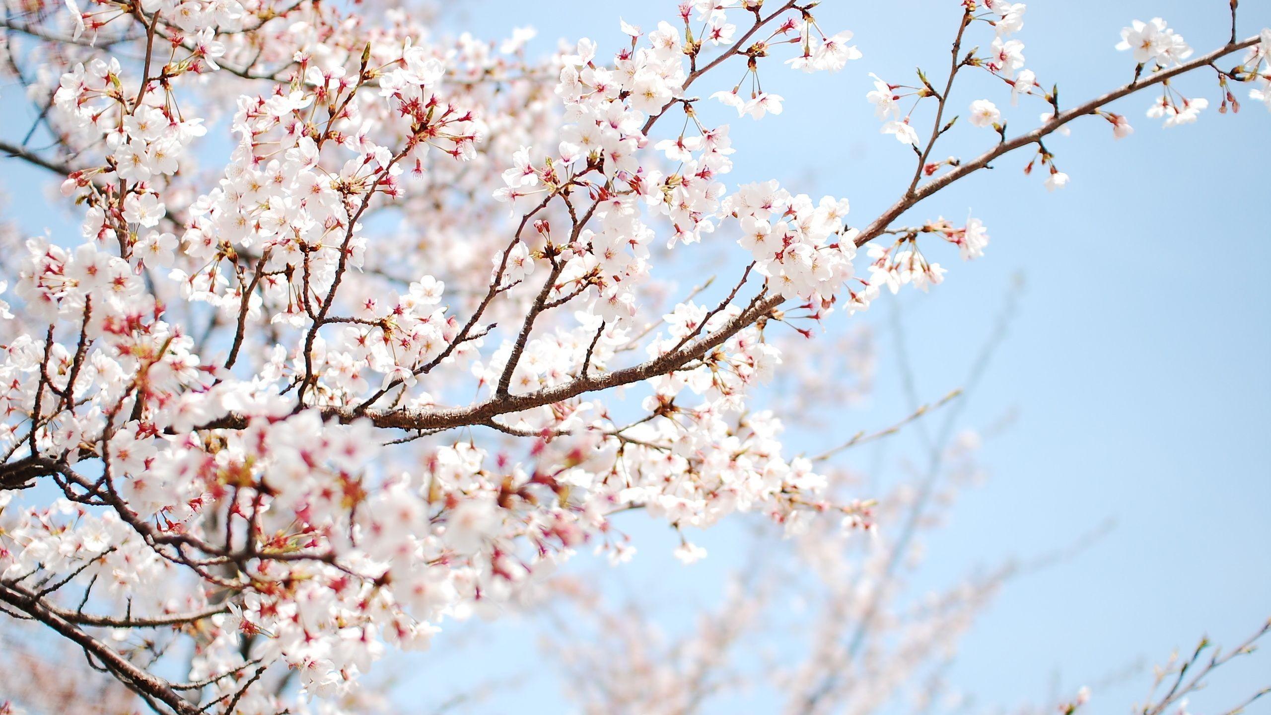 Cherry Blossom Tree Branch – wallpaper.