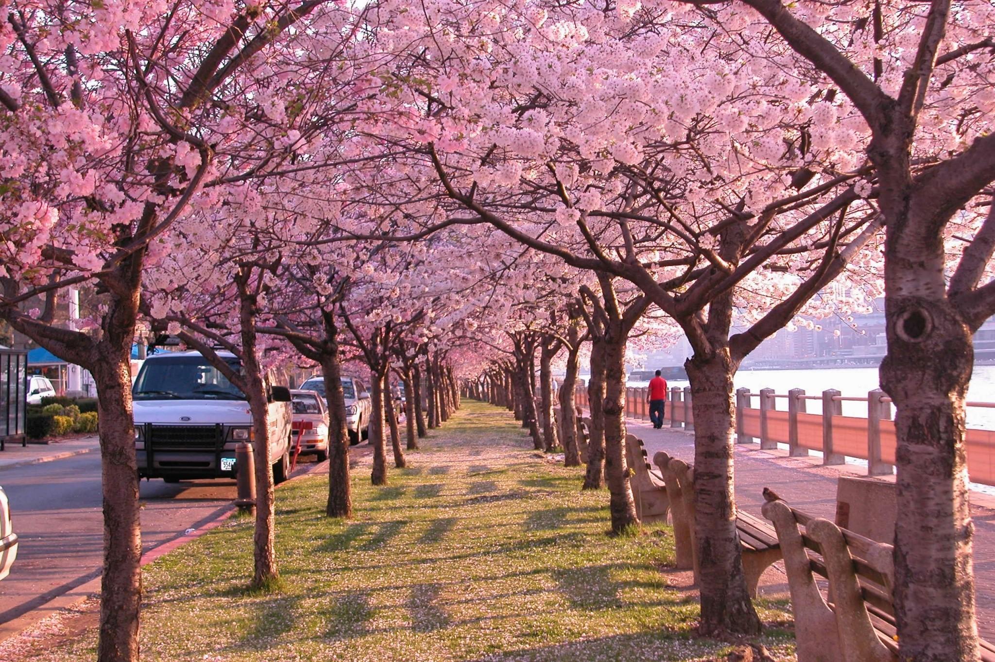 cherry blossom hd widescreen wallpapers for desktop