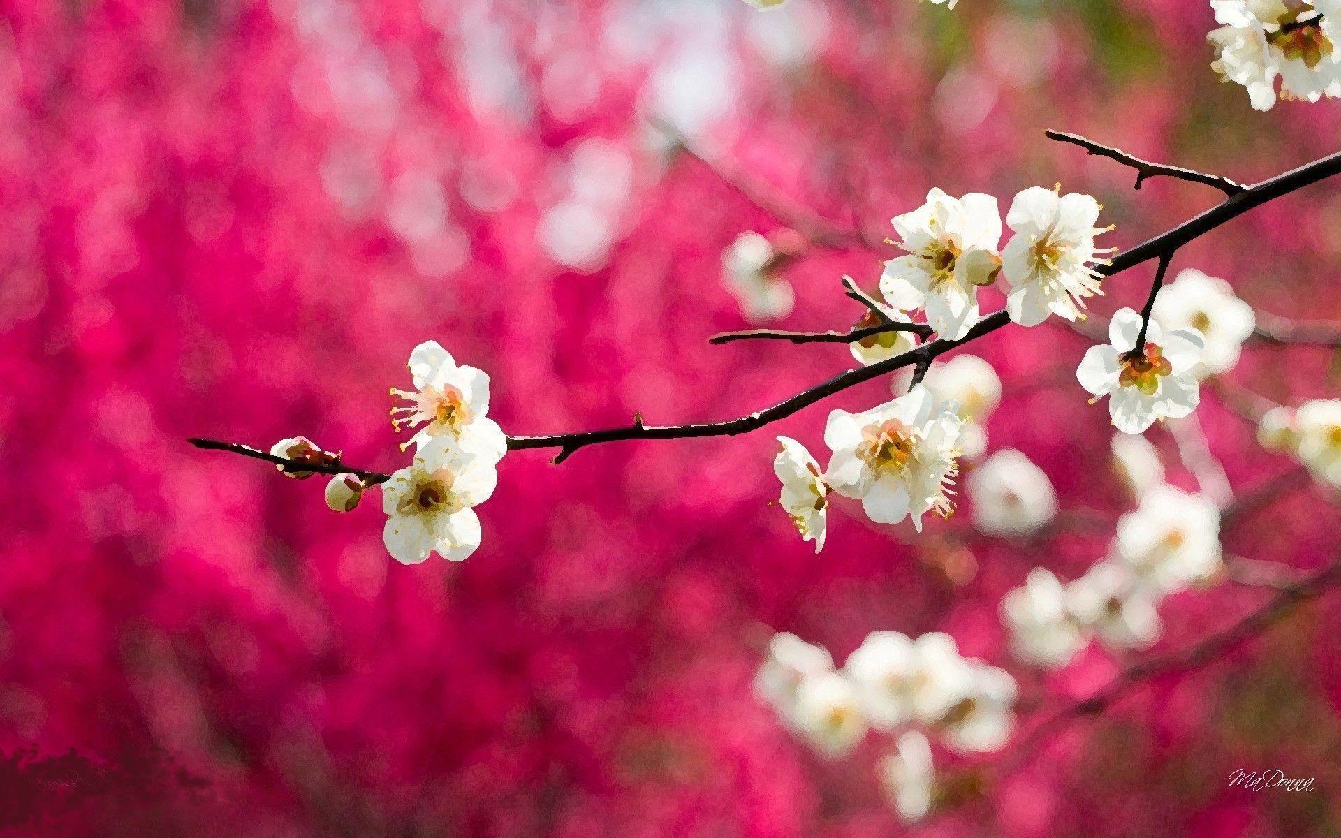 Cherry Blossoms HD Wallpapers – HD Wallpapers Inn