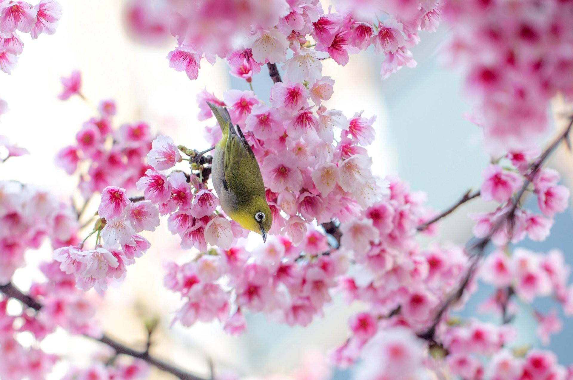 Bird Spring Sakura Cherry Blossom Wallpaper