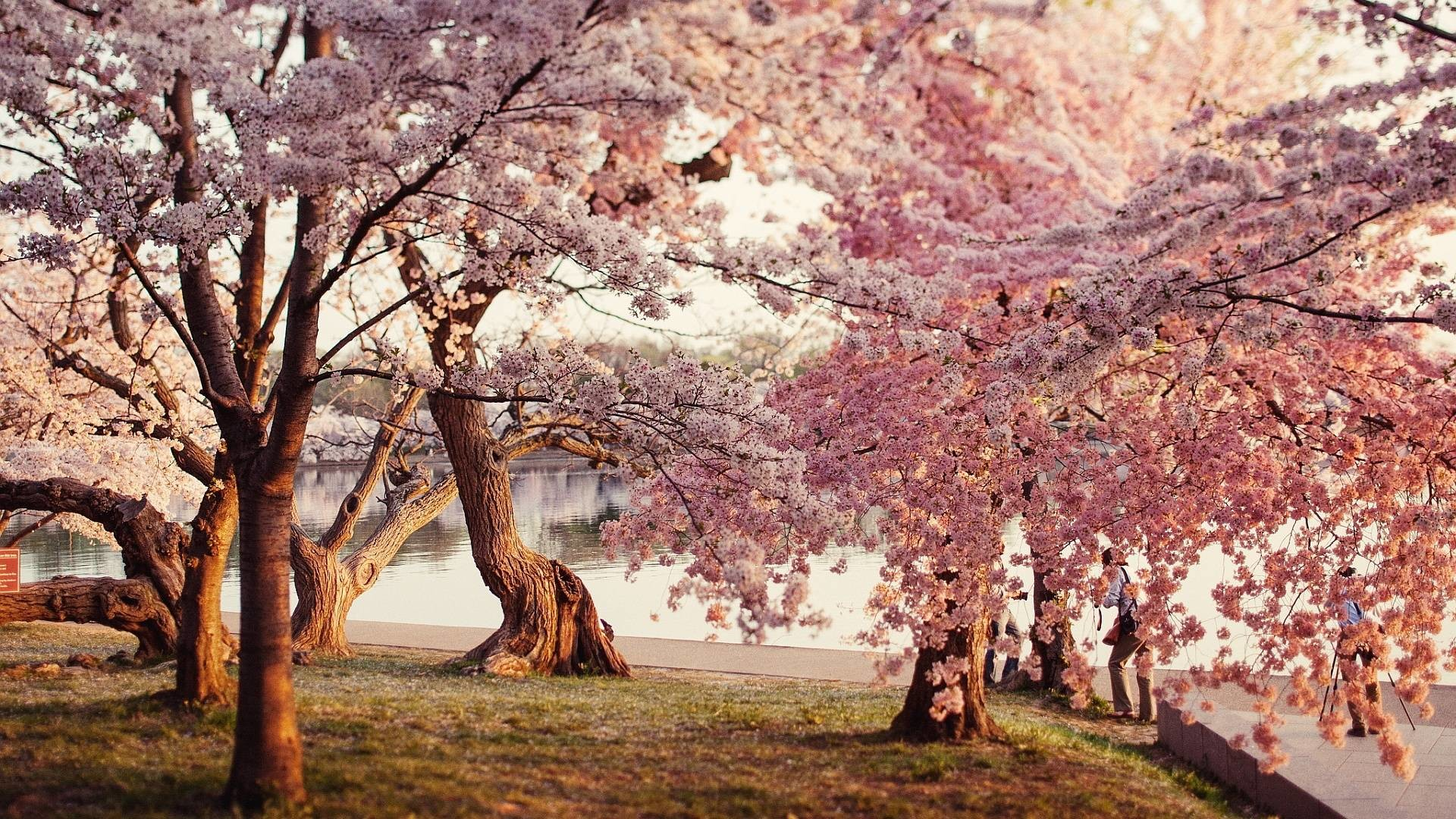 Cherry Blossom Computer Wallpapers (6 Wallpapers)