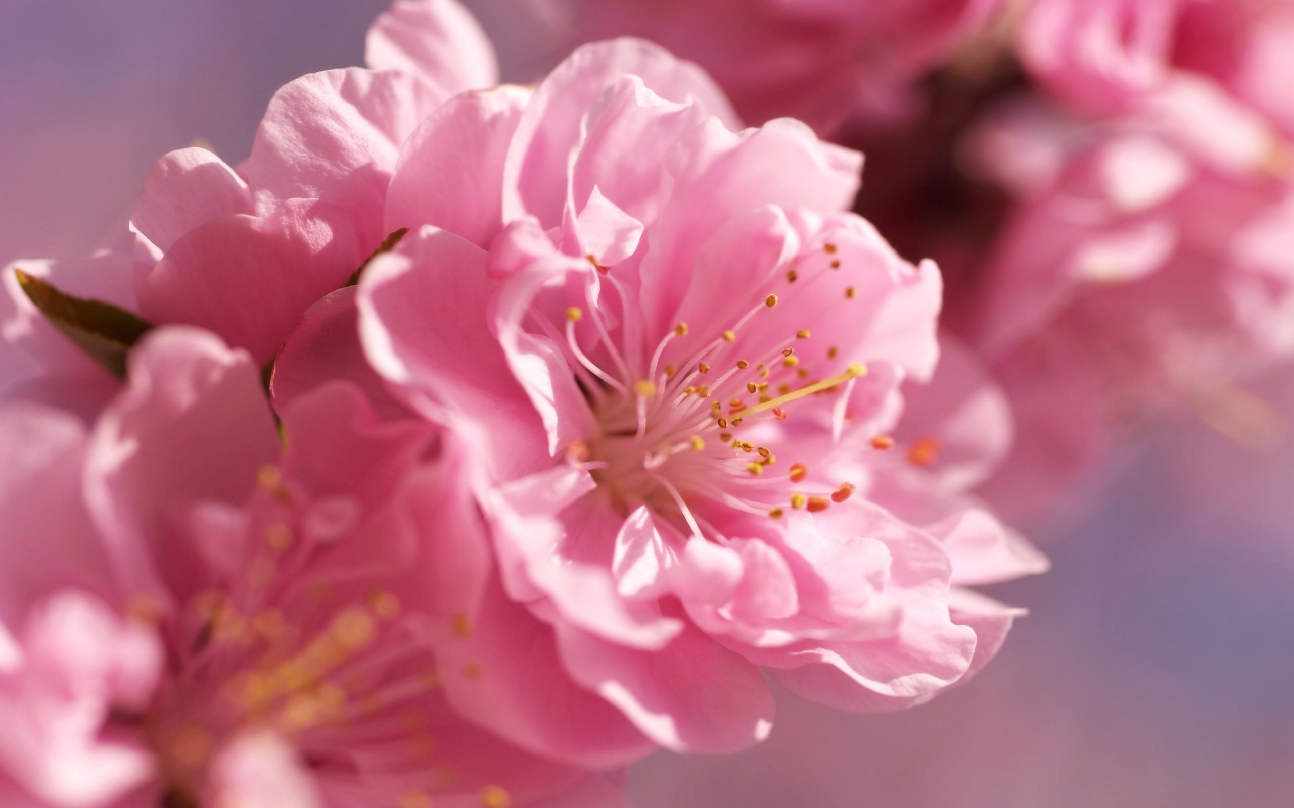 Ultra HD Apricot Blossom Buds 1920×1200   Ultra HD Flowers Wallpapers    Pinterest   Apricot blossom, Wallpaper and Hd desktop