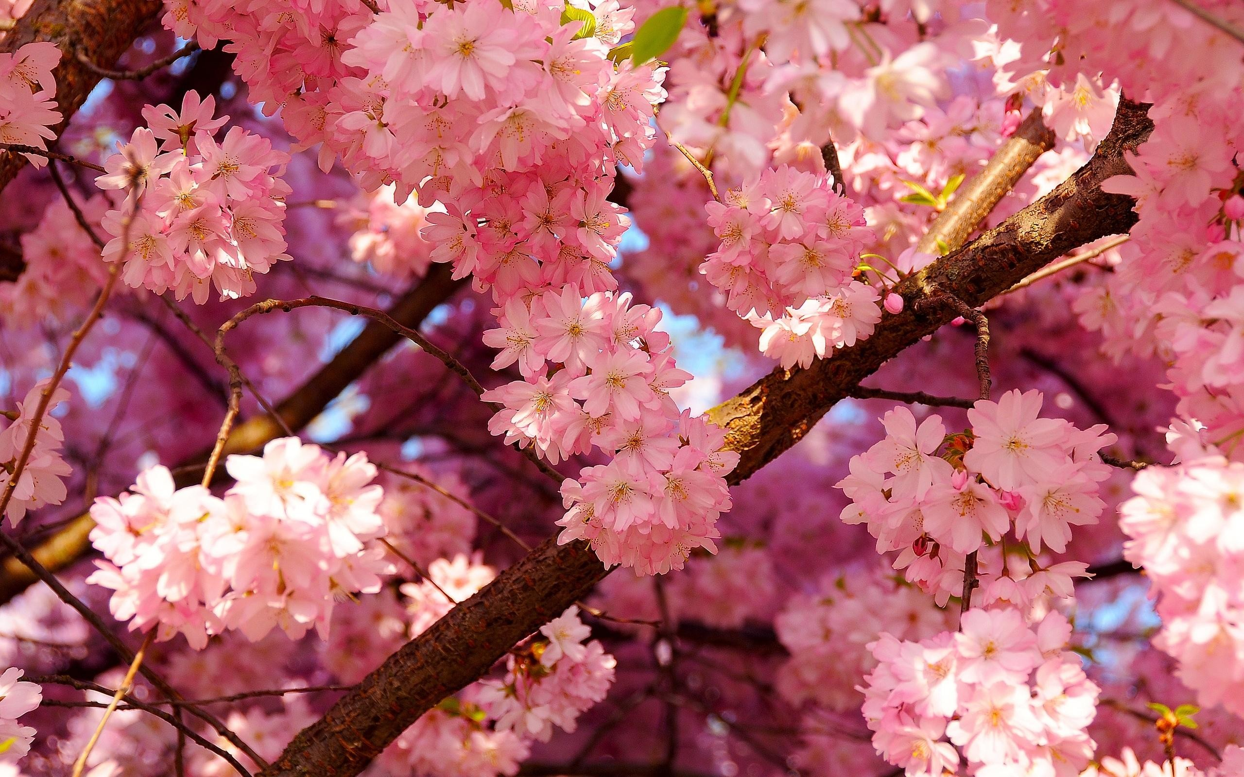 Hd-cherry-blossom-wallpapers
