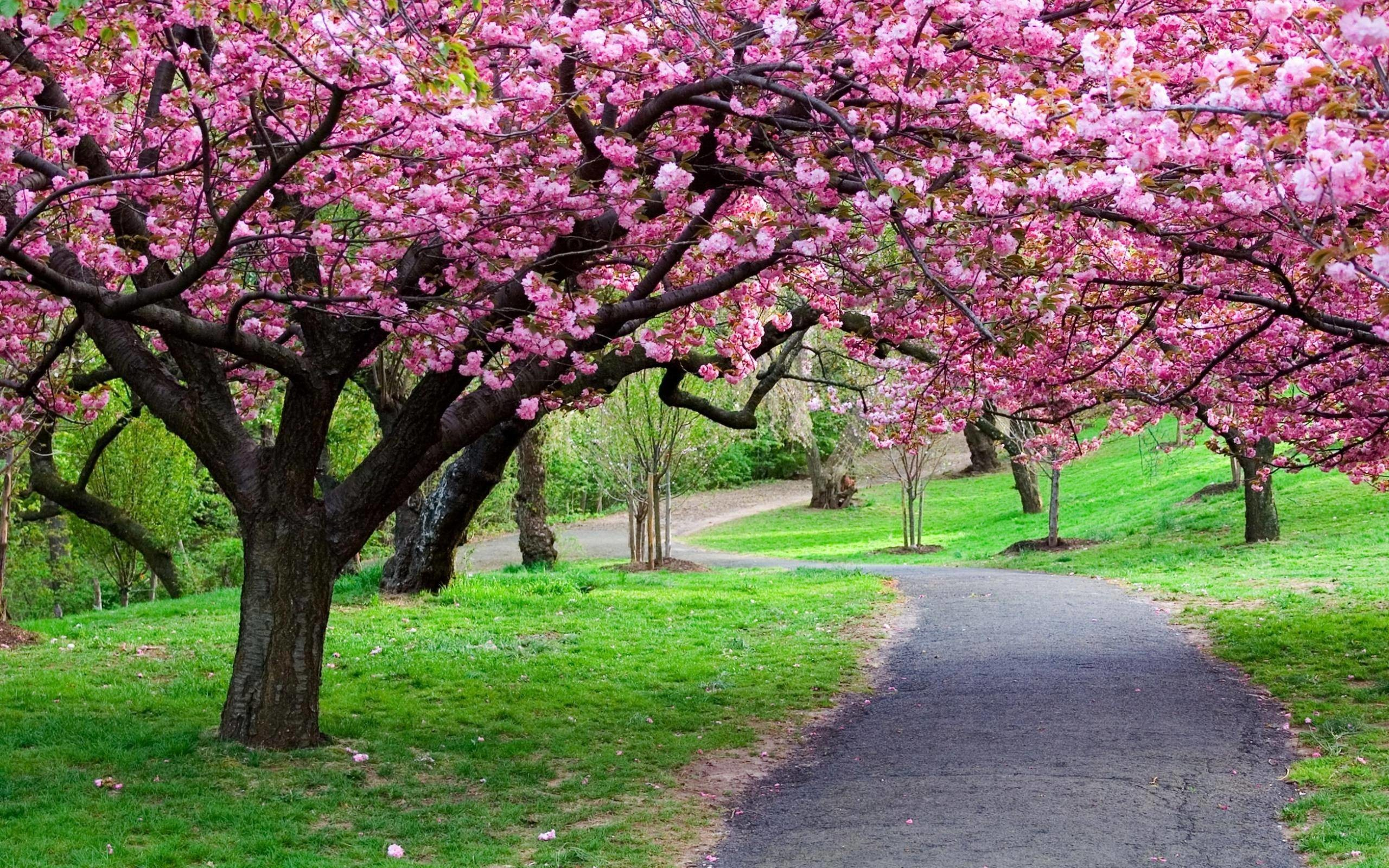 Cherry Blossom HD Wallpapers Backgrounds Wallpaper
