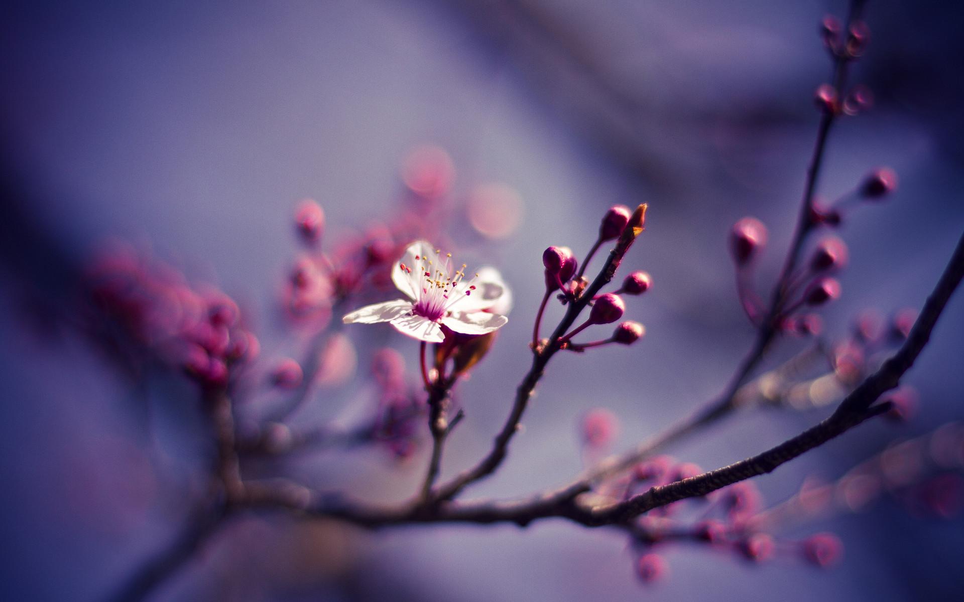 Cherry Blossom Wallpaper 6564