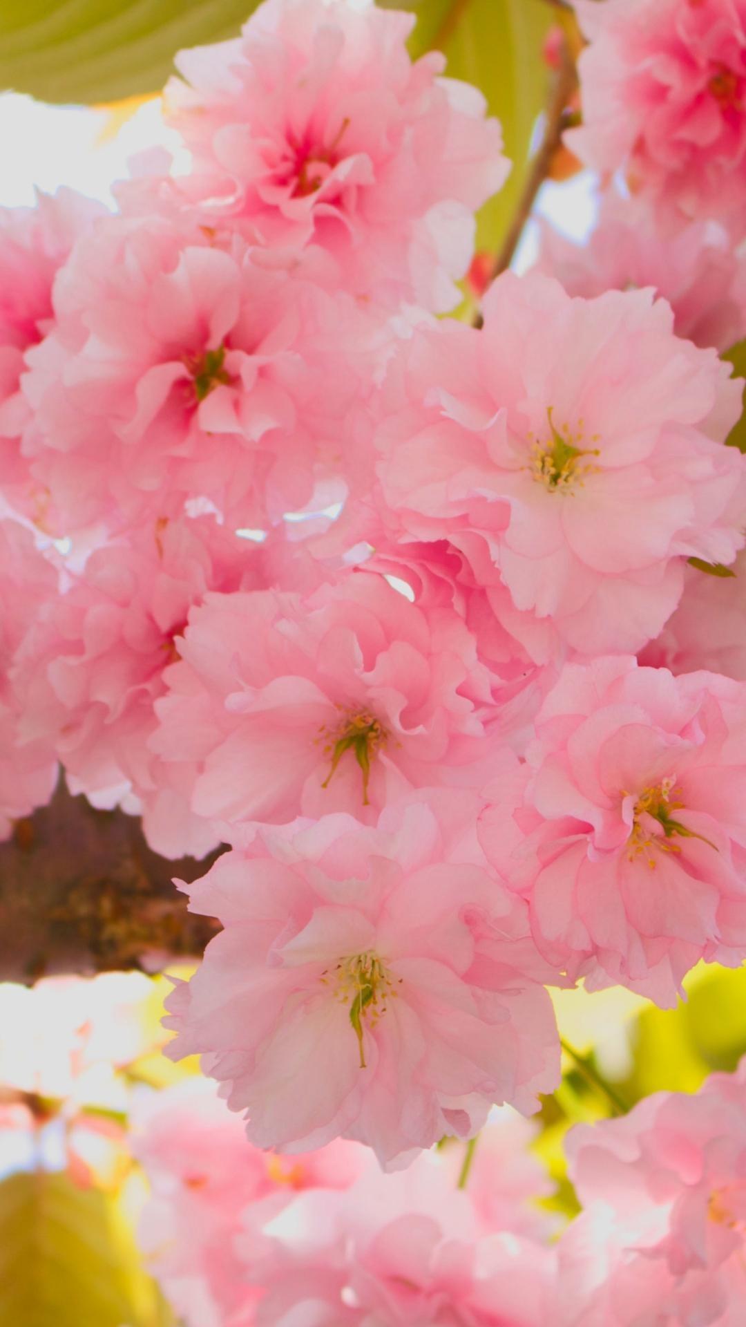 wallpaper.wiki-Cherry-Blossom-iPhone-HD-Wallpaper-PIC-