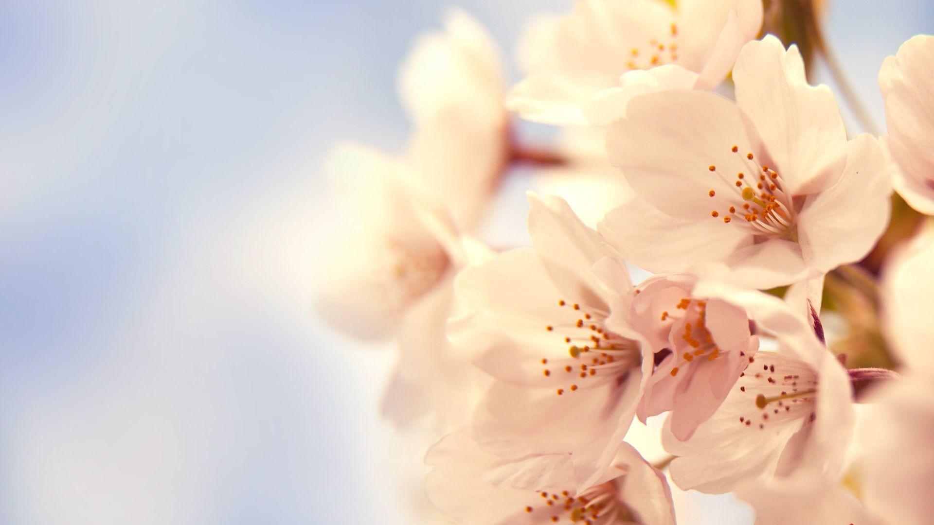 Cherry Blossom desktop PC and Mac wallpaper