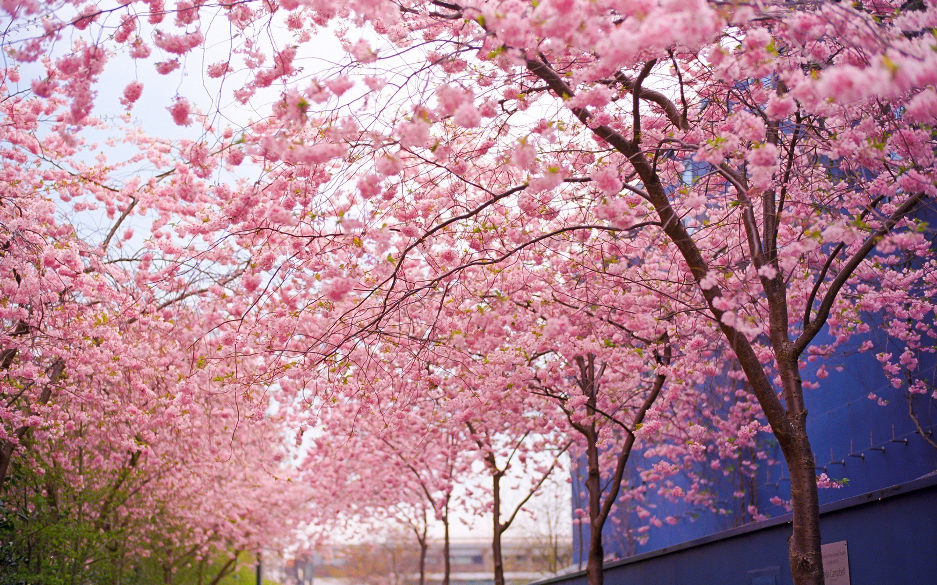 Landscape Photography Stunning Tree Gallery Trees, Tree 1920×1200 Cherry  Blossom Tree Backgrounds (