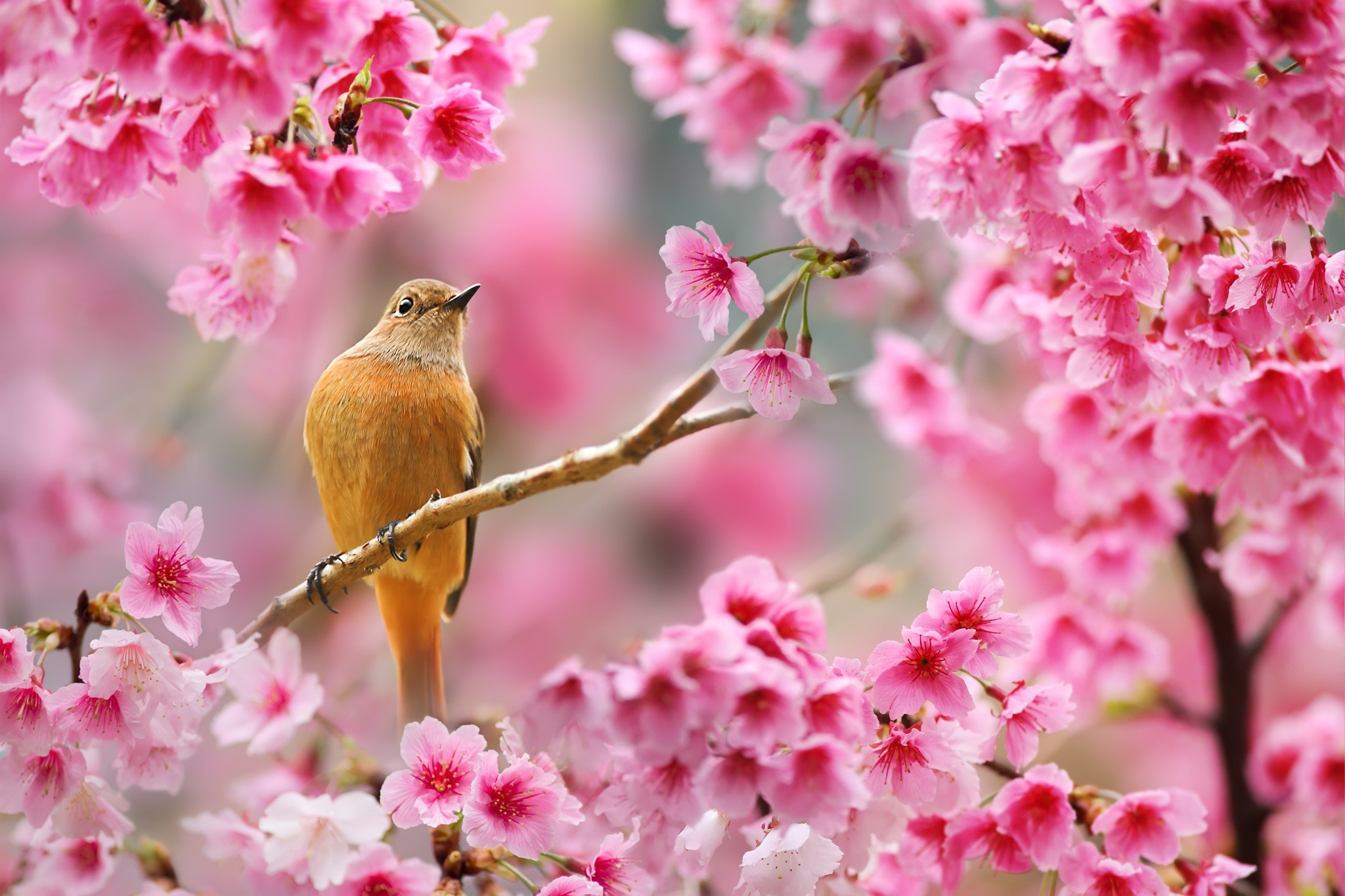 nature, Birds, Animals, Flowers, Plants, Depth Of Field, Cherry Blossom  Wallpapers HD / Desktop and Mobile Backgrounds