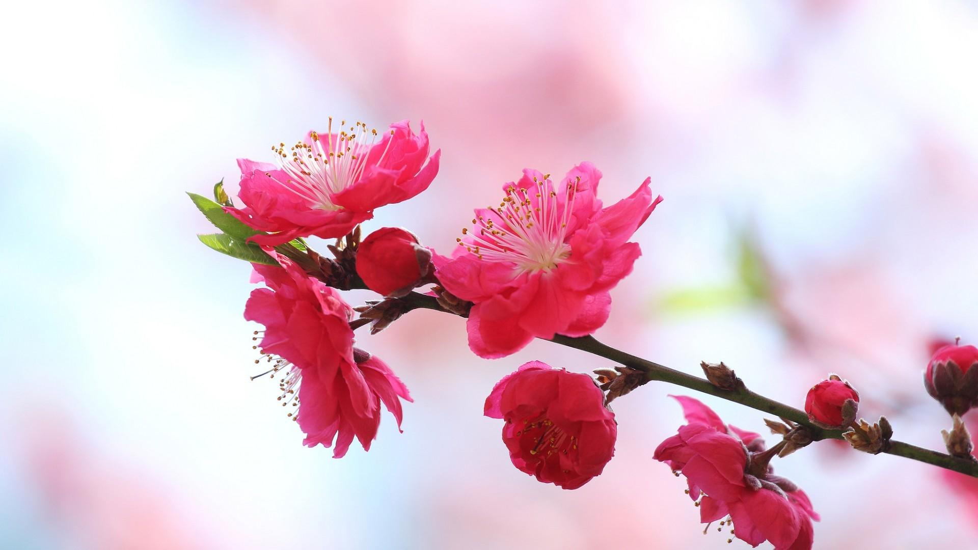 red cherry blossom bloom branch in spring morning hd