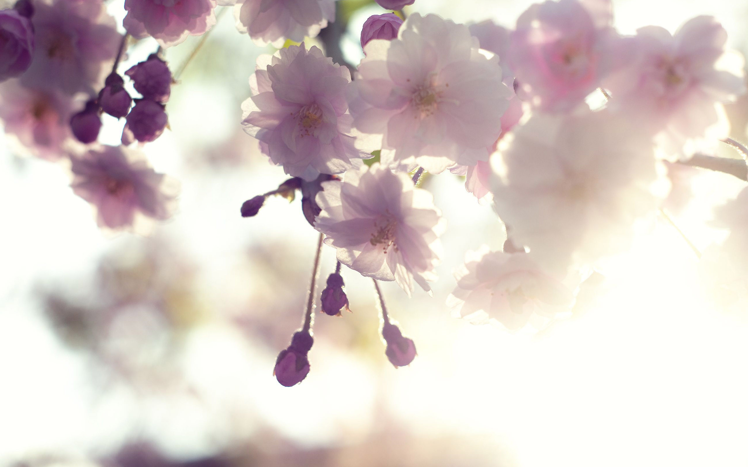 White-Cherry-Blossom-Wallpapers-Screen-HD-Images
