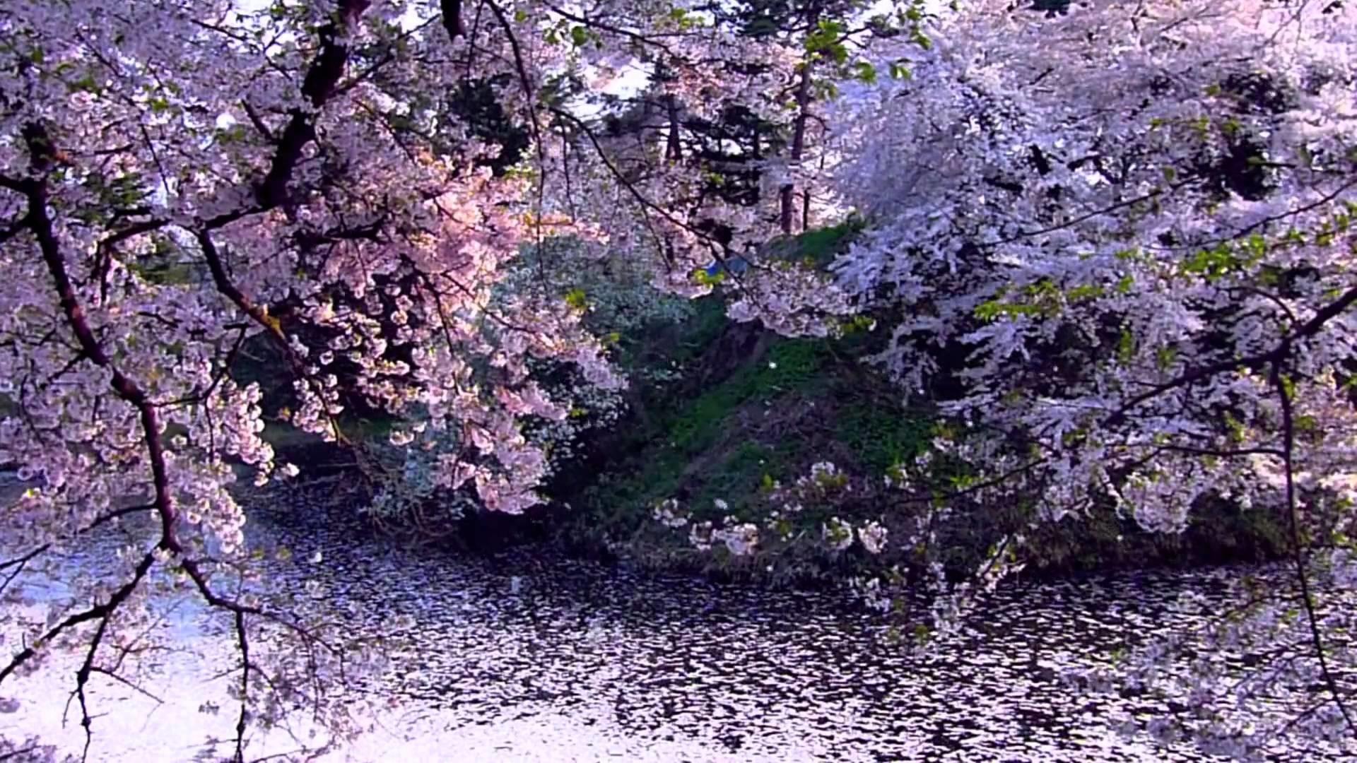 Cherry Blossom 2 – Sakura – Video Background HD 1080p – YouTube