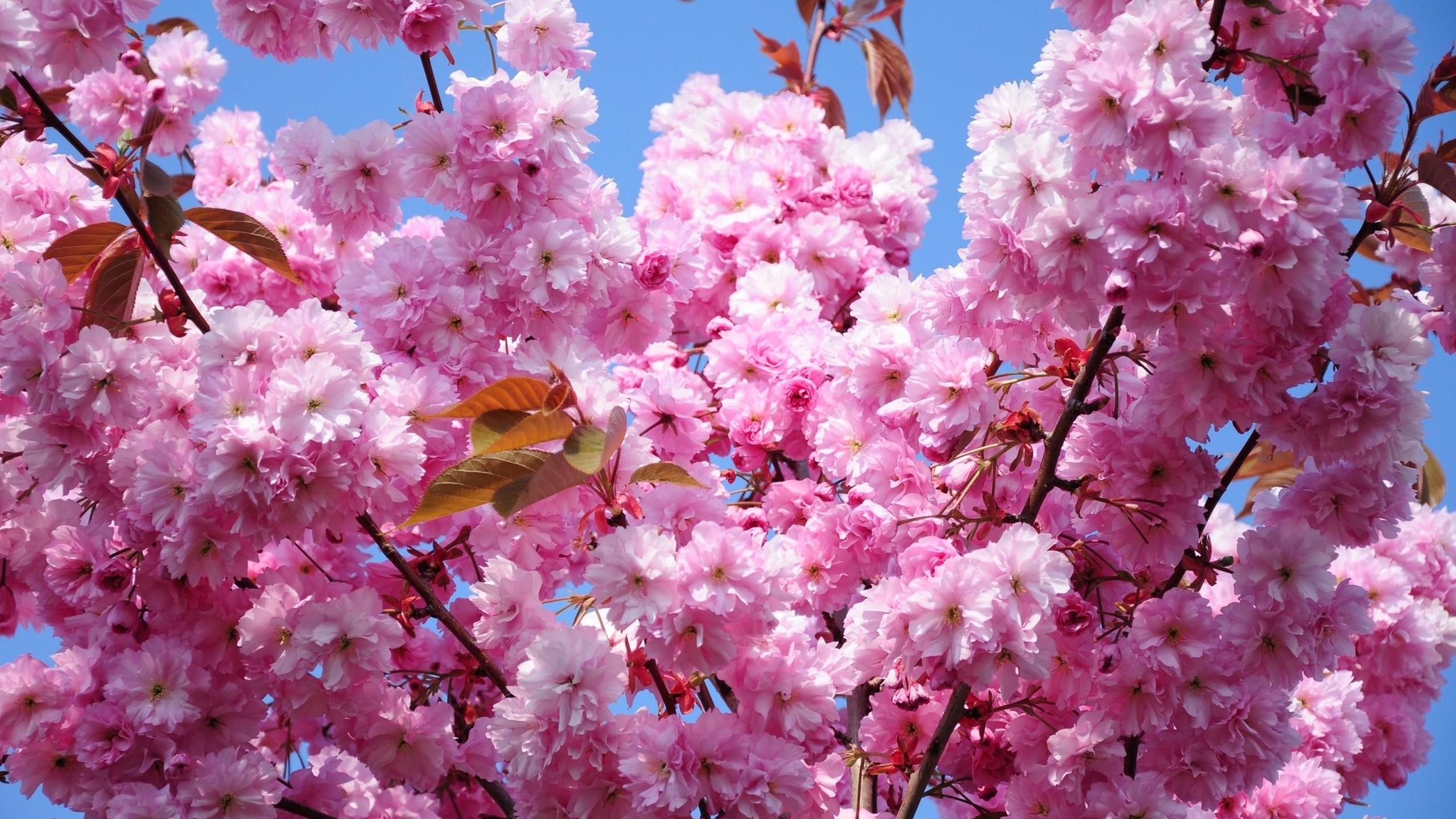 Wallpaper cherry, blossom, branch, spring, foliage, sky