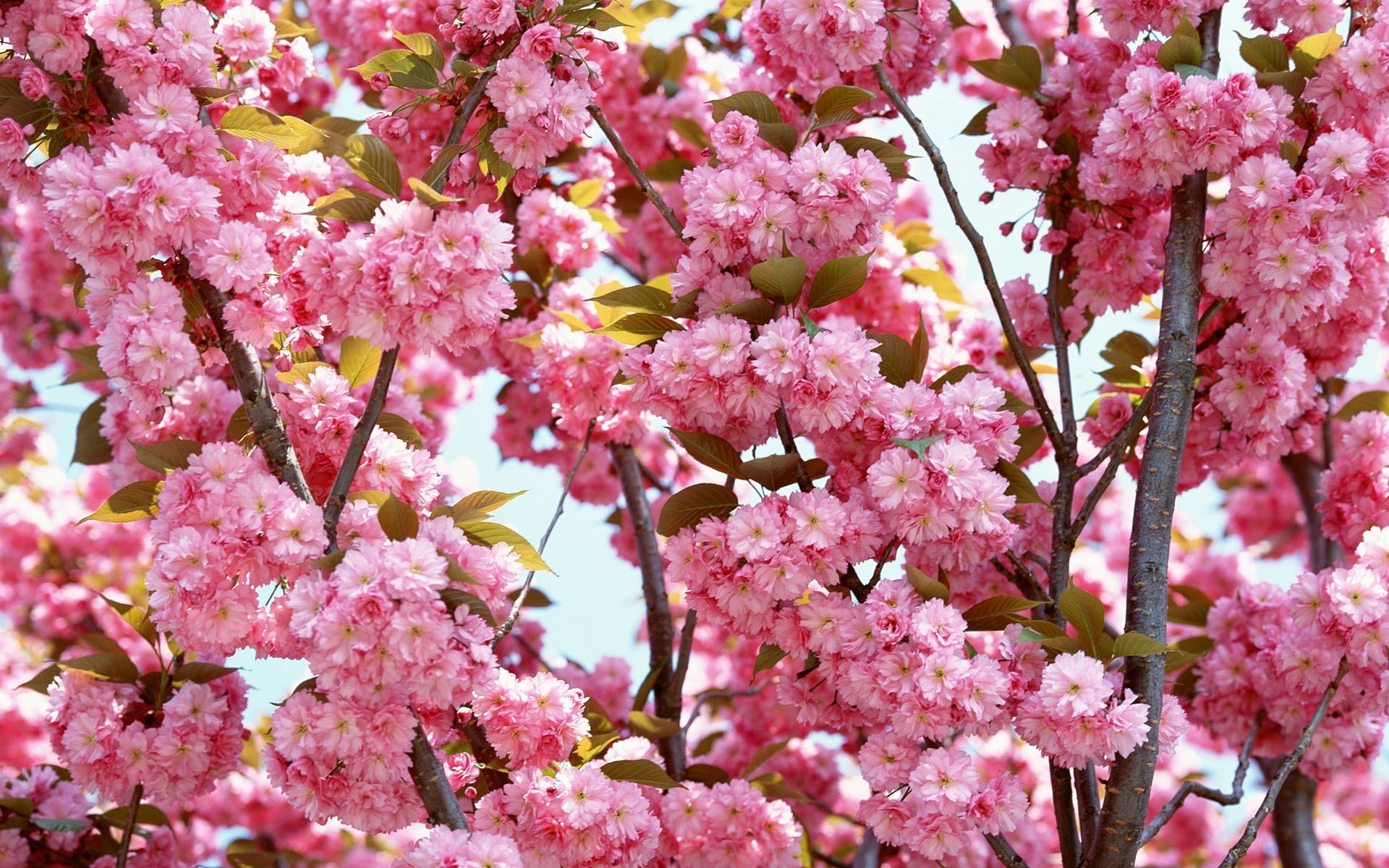 HD Wallpaper and background photos of Cherry Blossom for fans of  yorkshire_rose images.