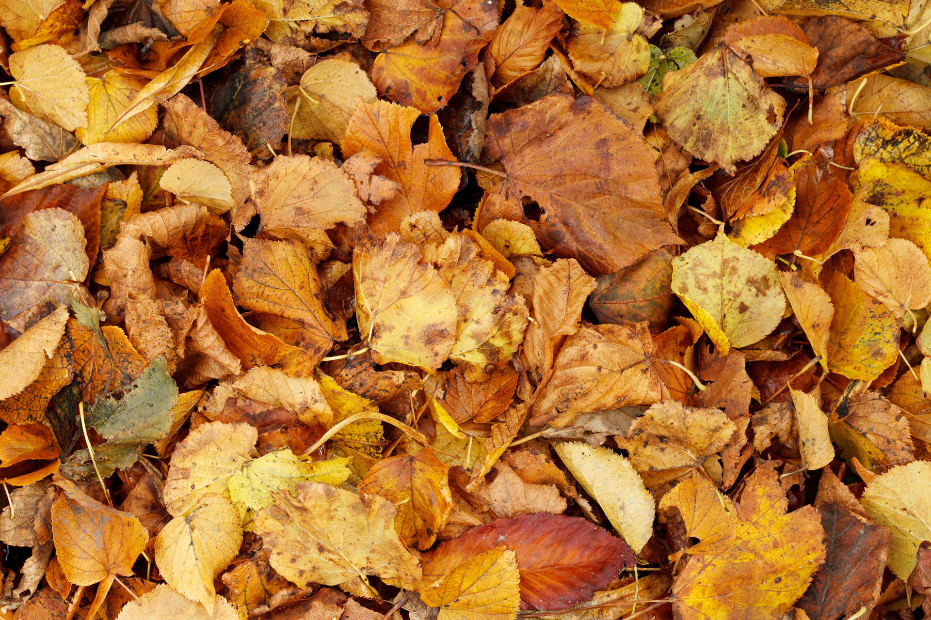 Dry Brown Leaves Background