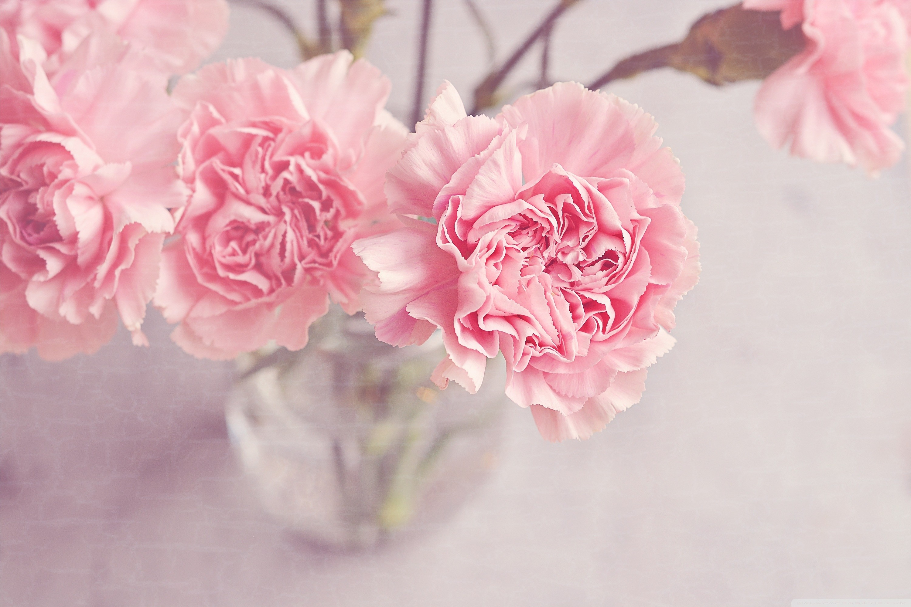 light_pink_carnations_flowers_in_a_vase-wallpaper.  light_pink_carnations_flowers_in_a_vase-wallpaper