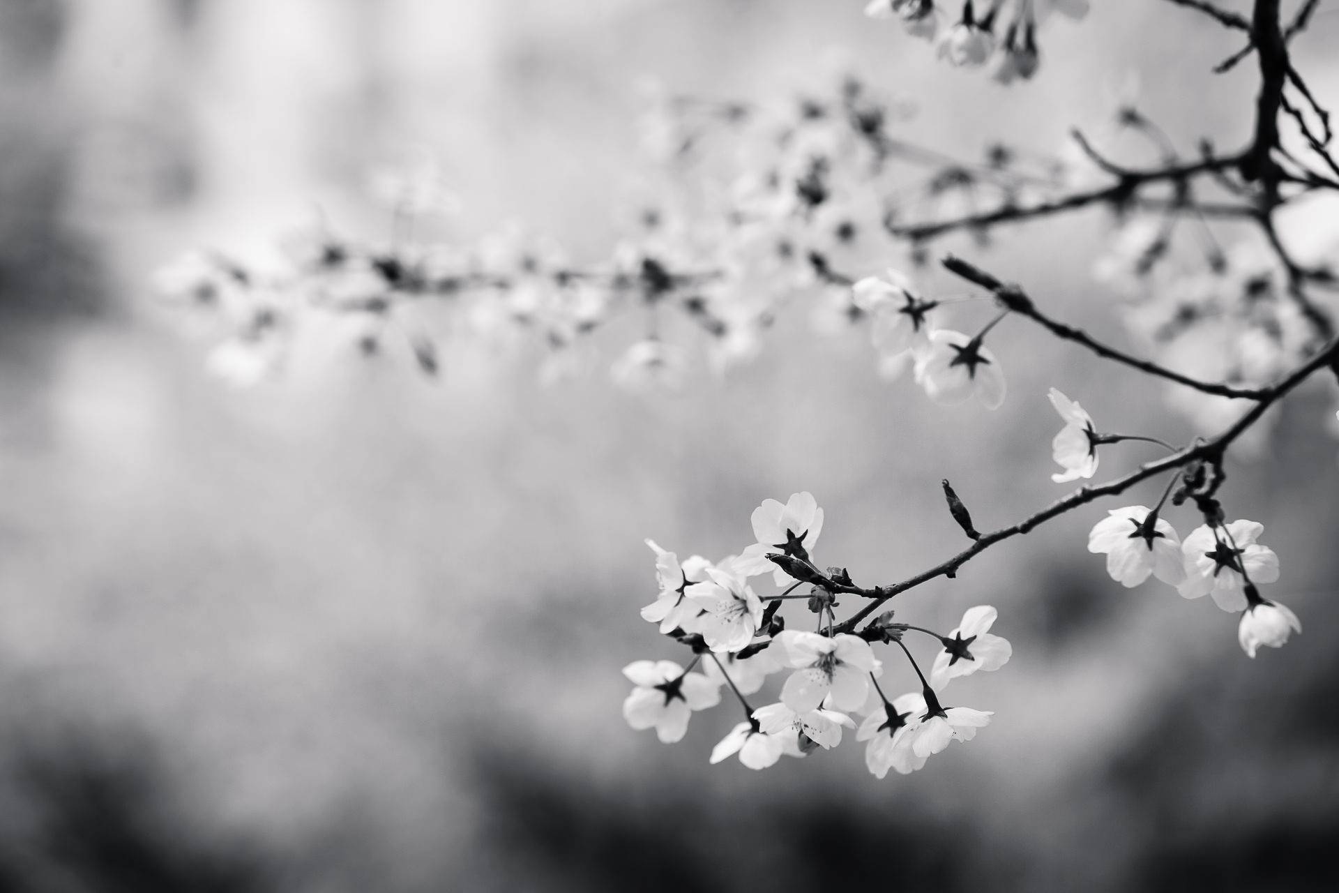 Free stock photo of black-and-white, flowers, branch, cherry blossom