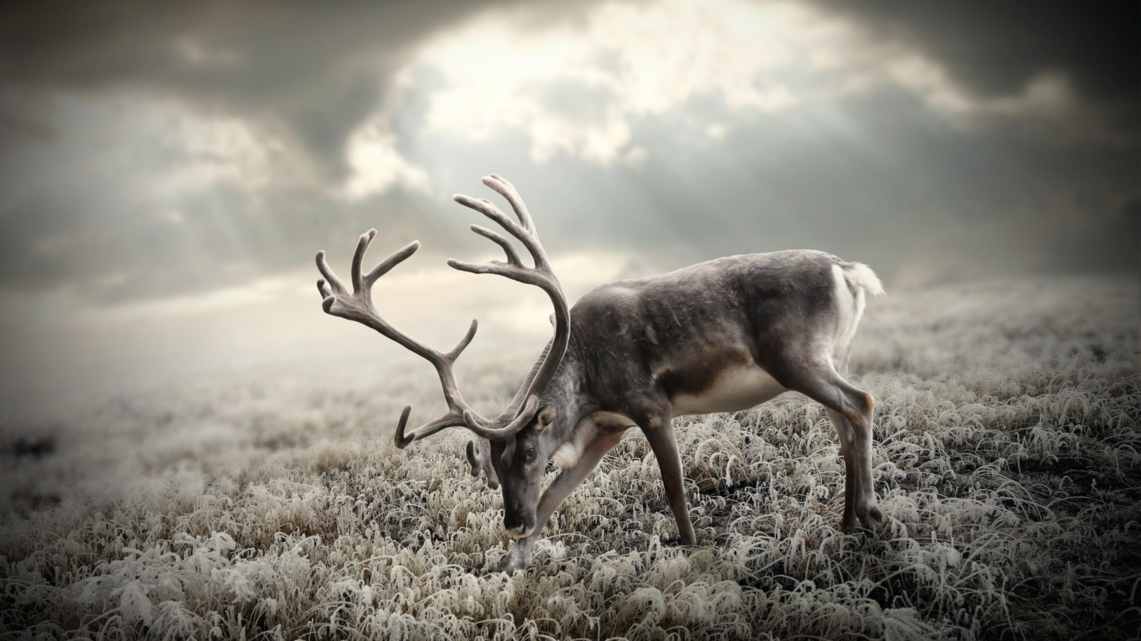 Wallpaper deer, nature, walking, black and white