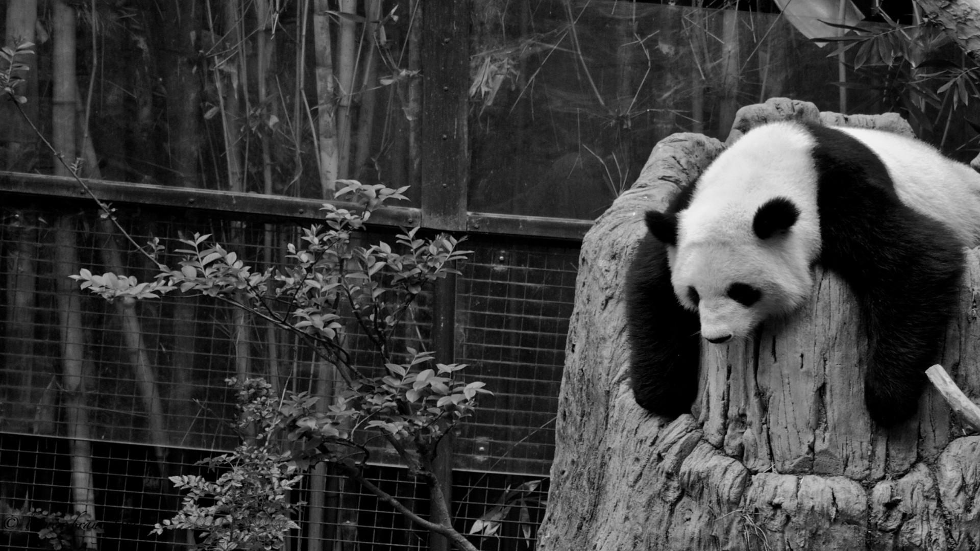 Wallpaper panda, sleep, nature reserve, hollow, black white
