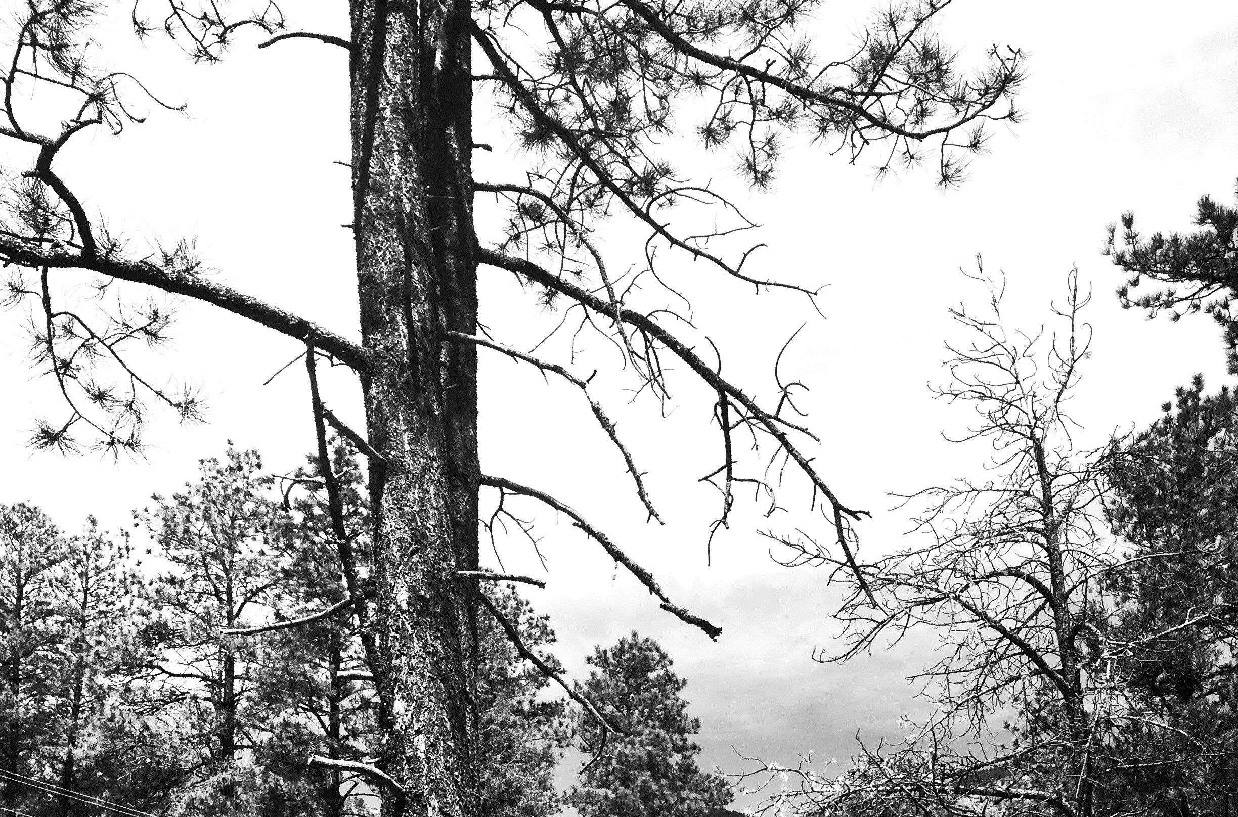 tree nature forest branch black and white plant sky white sadness black  monochrome dead death trees