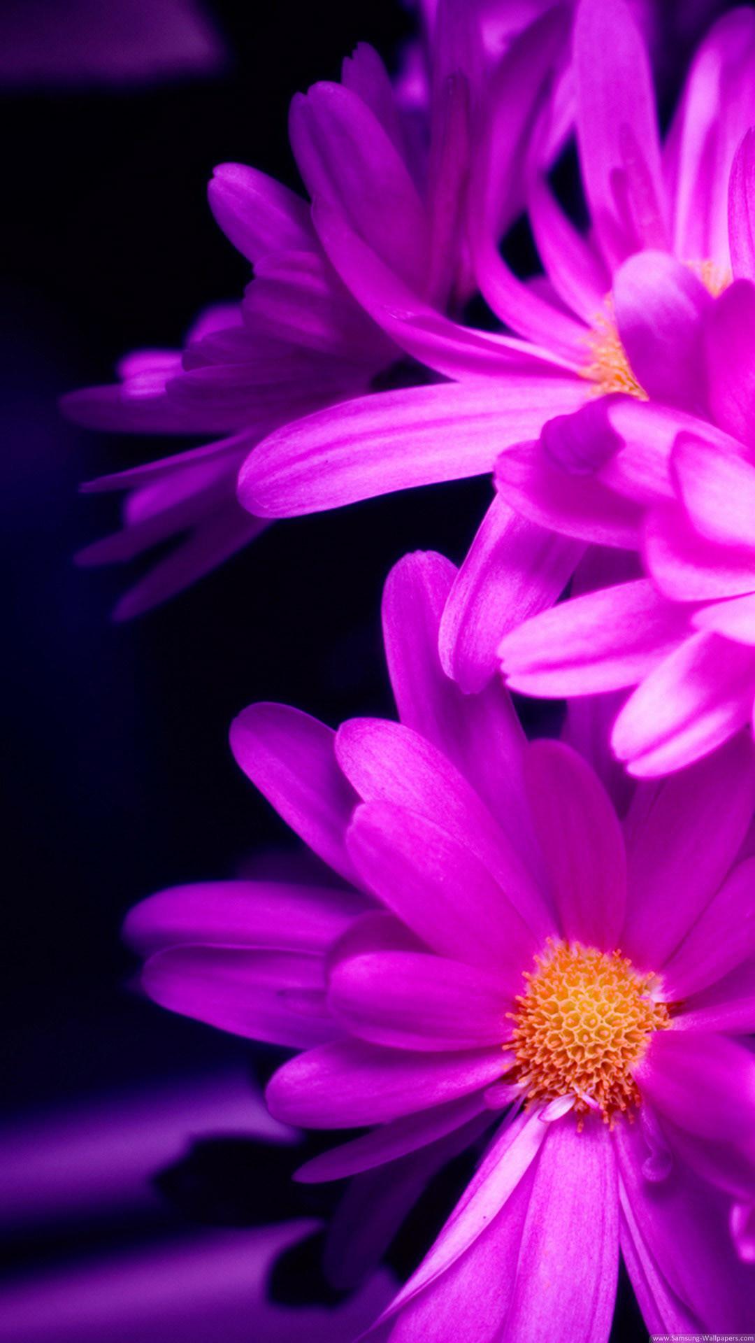 Purple Pink Daisy Flower Bouquet Macro #iPhone #6 #plus #wallpaper