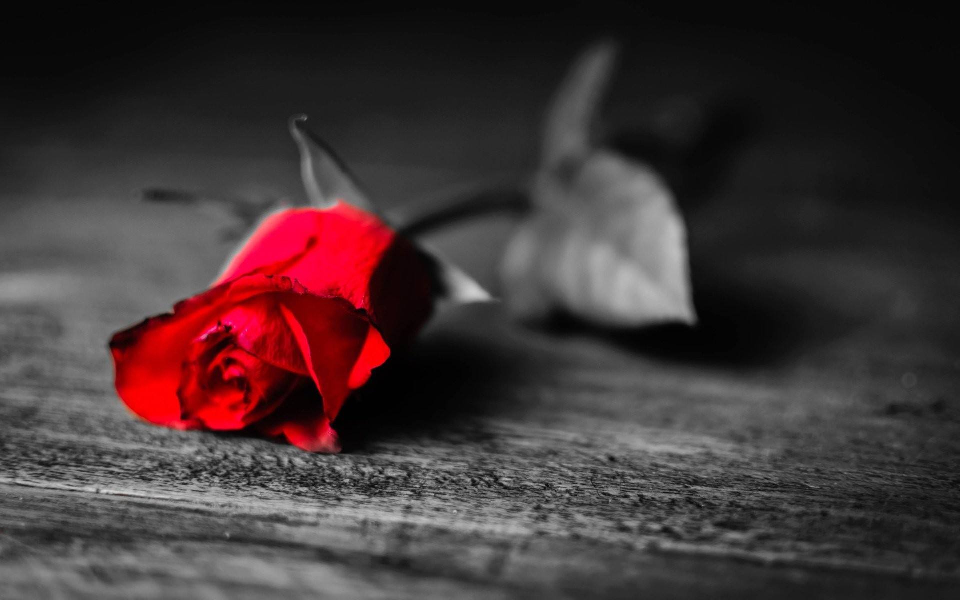 Red Rose Black And White Background …