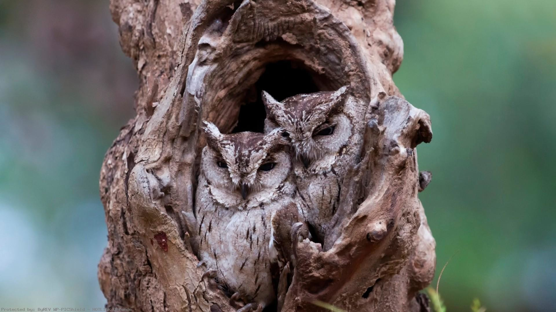 Two-Owl-in-Tree-1920-x-1080-Need-
