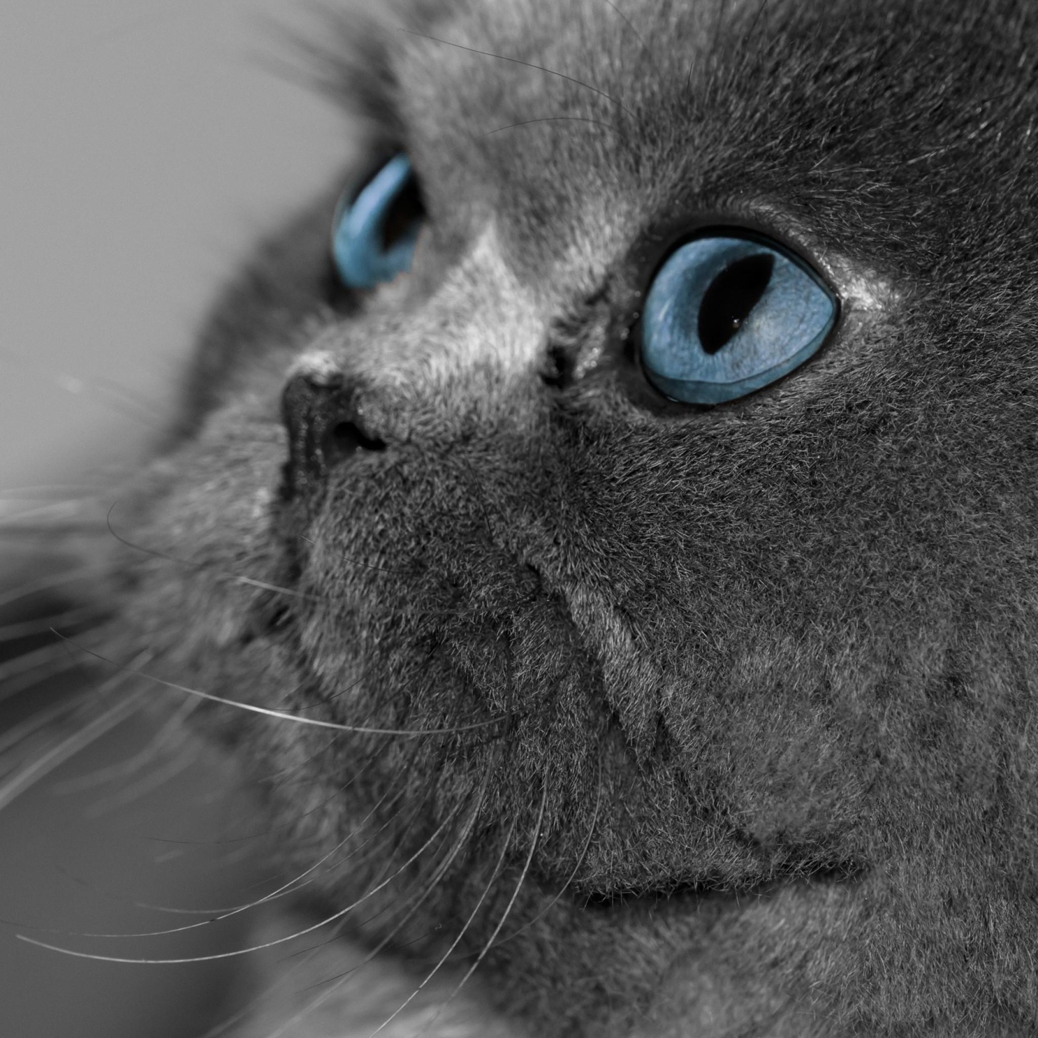 Wallpaper cat, fluffy, gray, eyes, blue eyes, profile