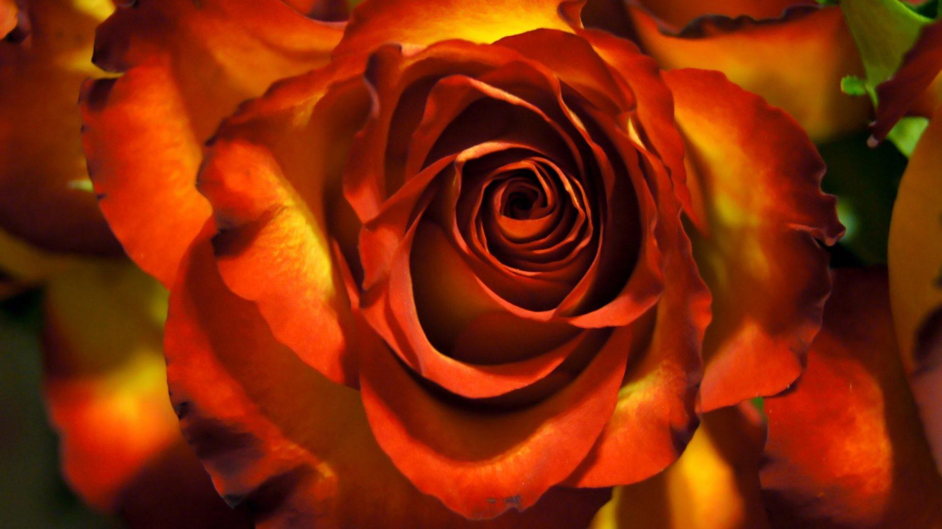 Bronze Tag – Rose Flower Golden Beautiful Orange Nature Bronze Lovely  Petals Single Desktop Wallpaper for