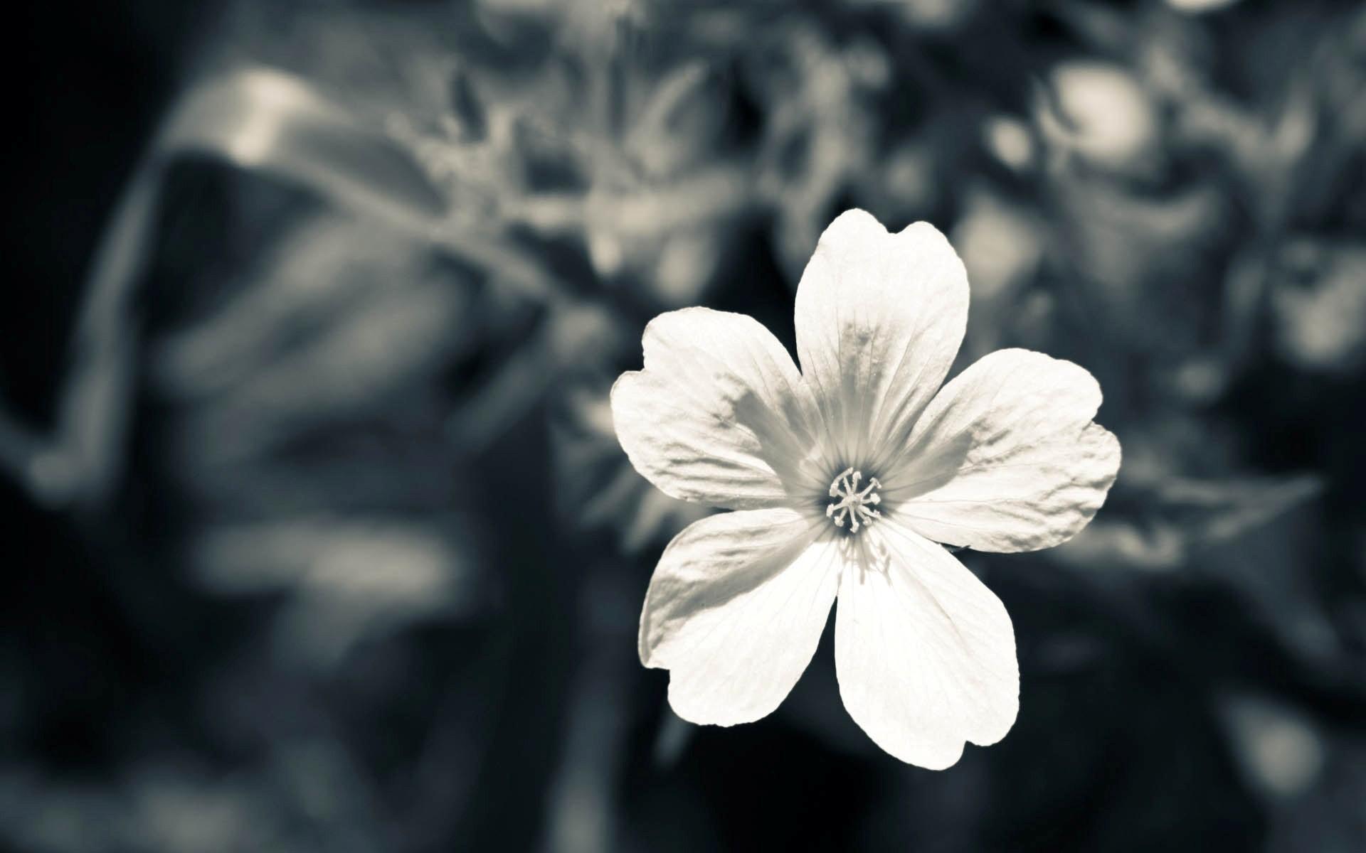 Black and White Flower Wallpaper Backgrounds for Desktop Flowers